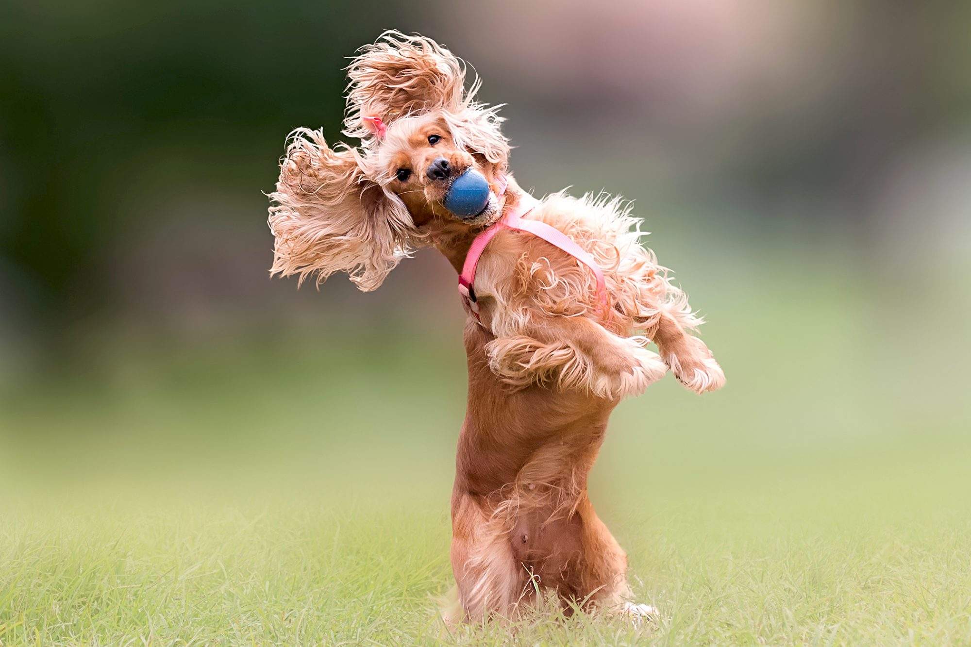 cocker spaniel jumping with ball in mouth