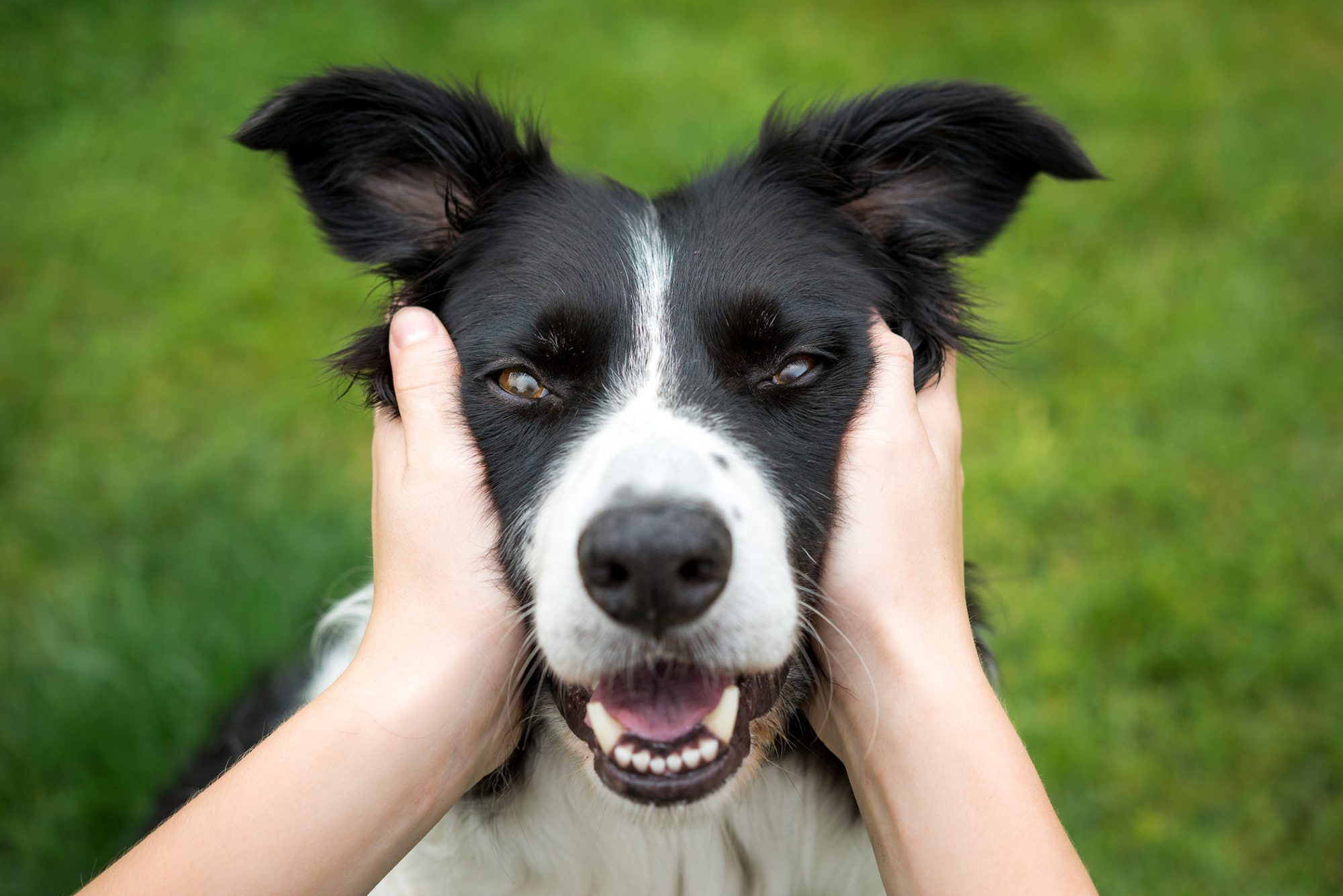 hands holding a smiling dog's face
