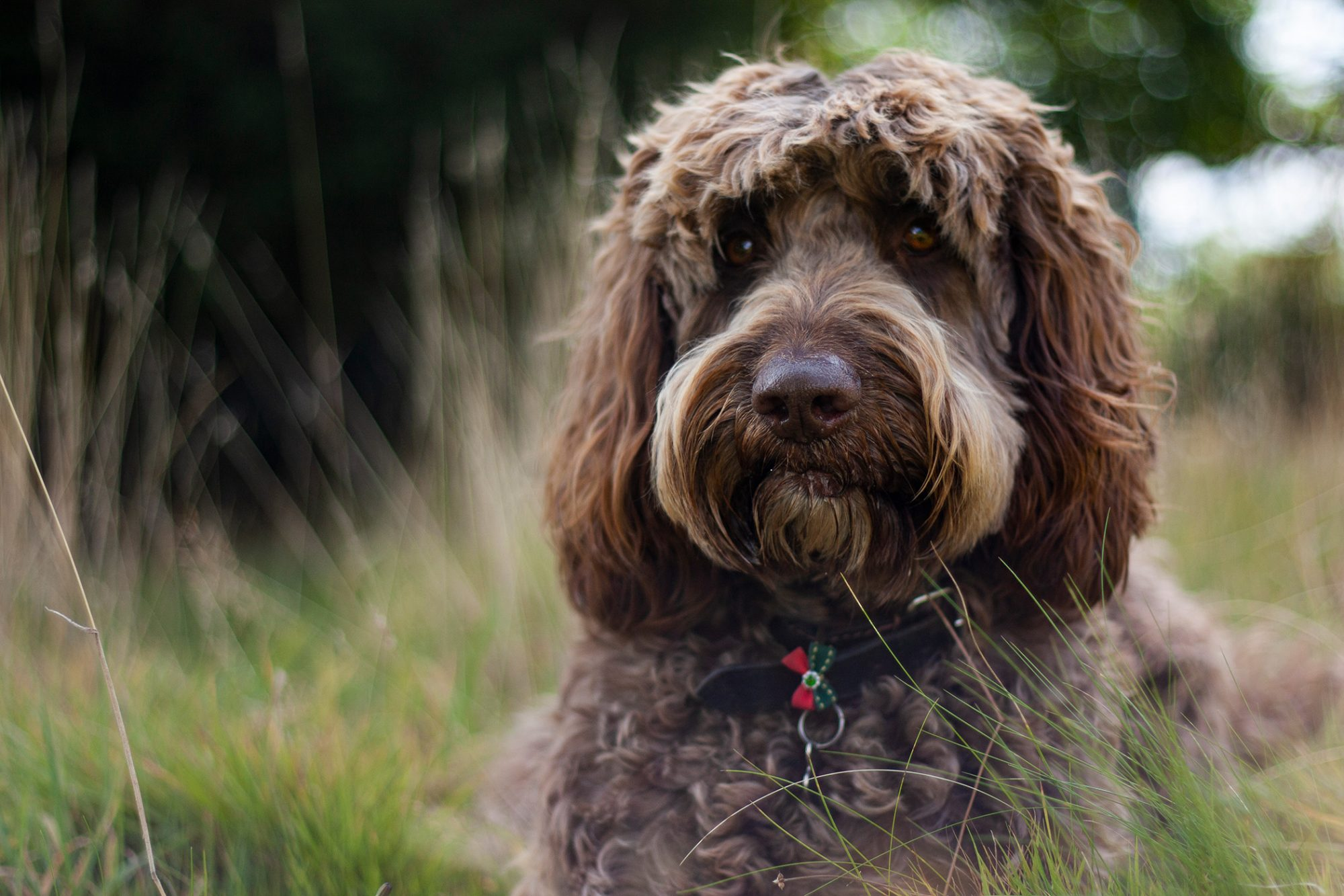 brown labradoodle laying in grass