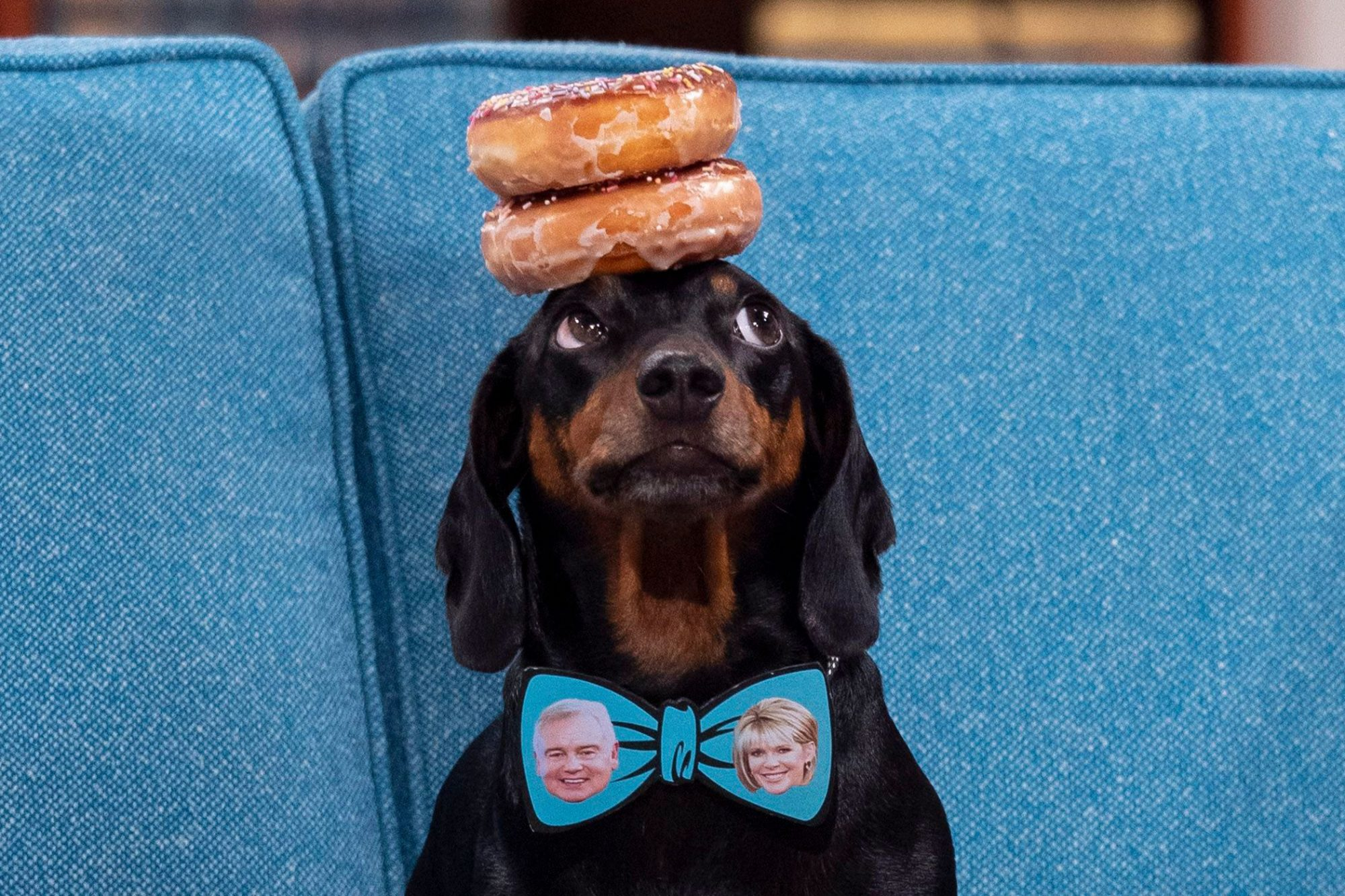 Harlso the Dachshund balancing two donuts on his head