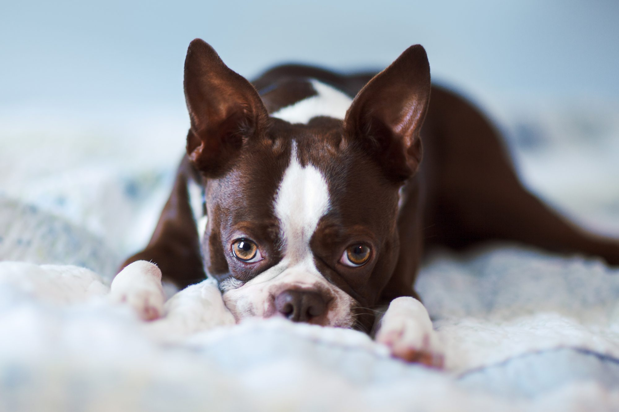 boston terrier laying on bed