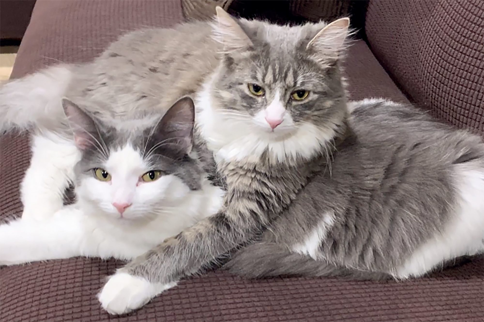 two gray and white cats lying together