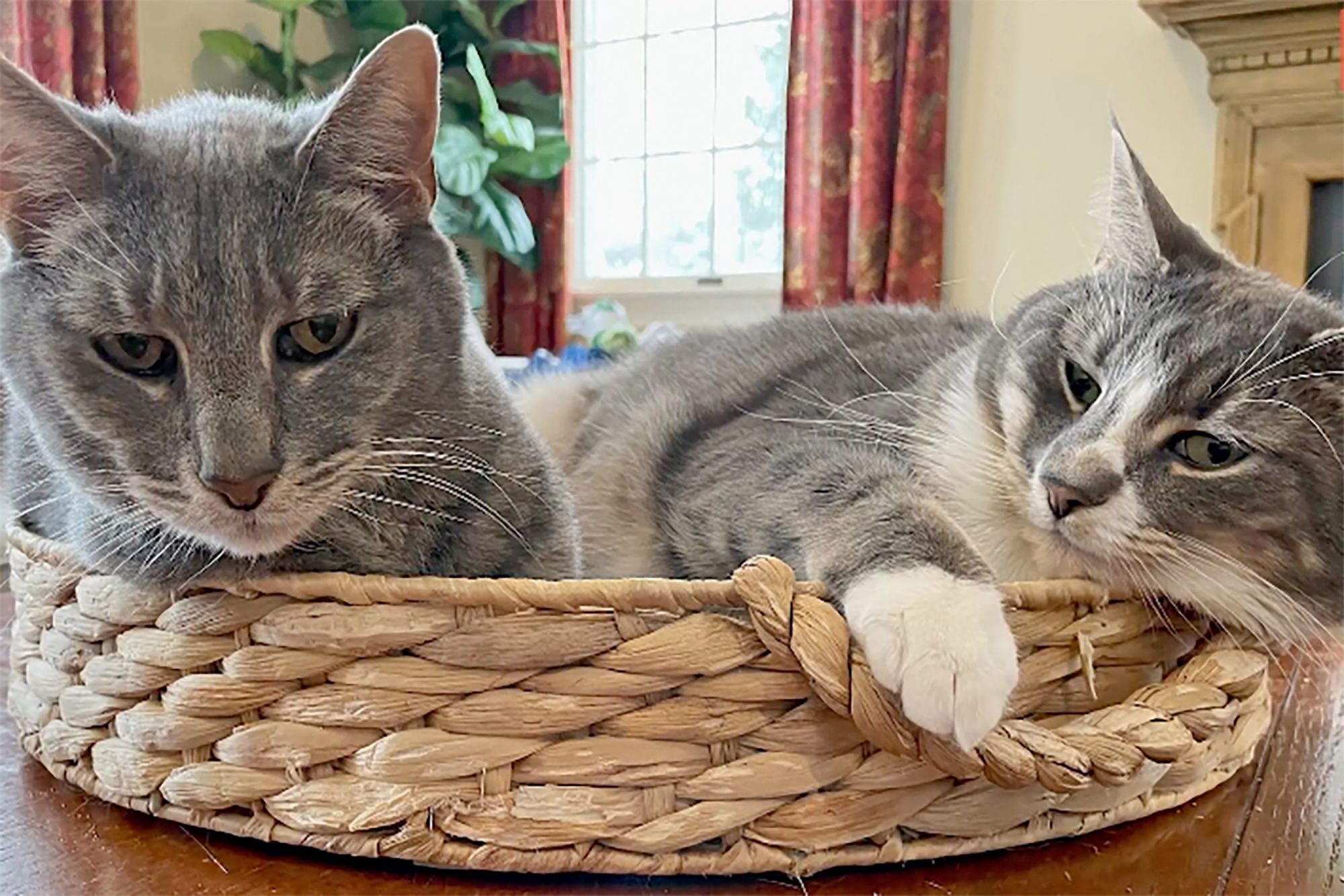 two grey cats lying in woven basket