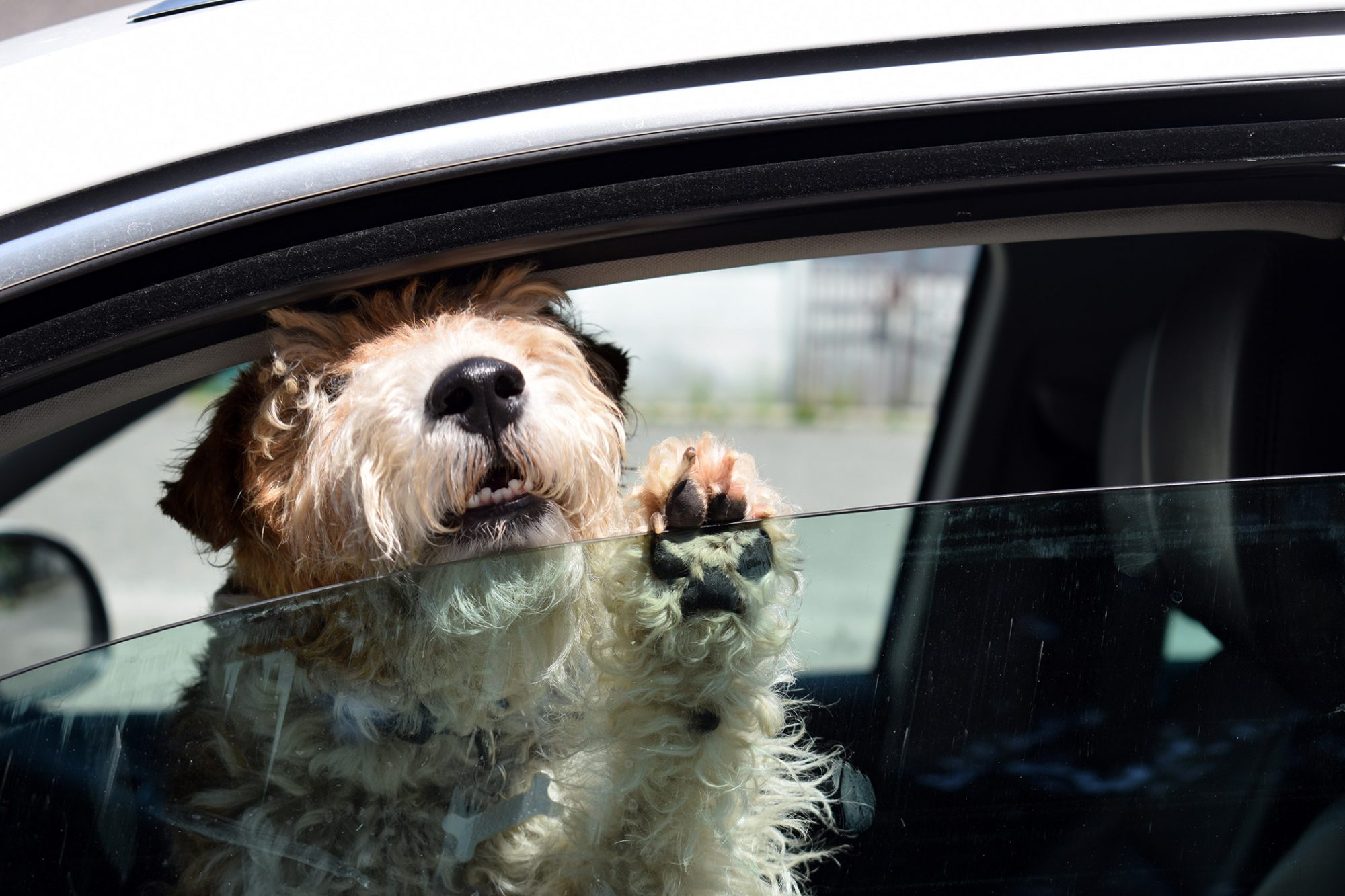 dog in hot car peeking out of the crack in the window
