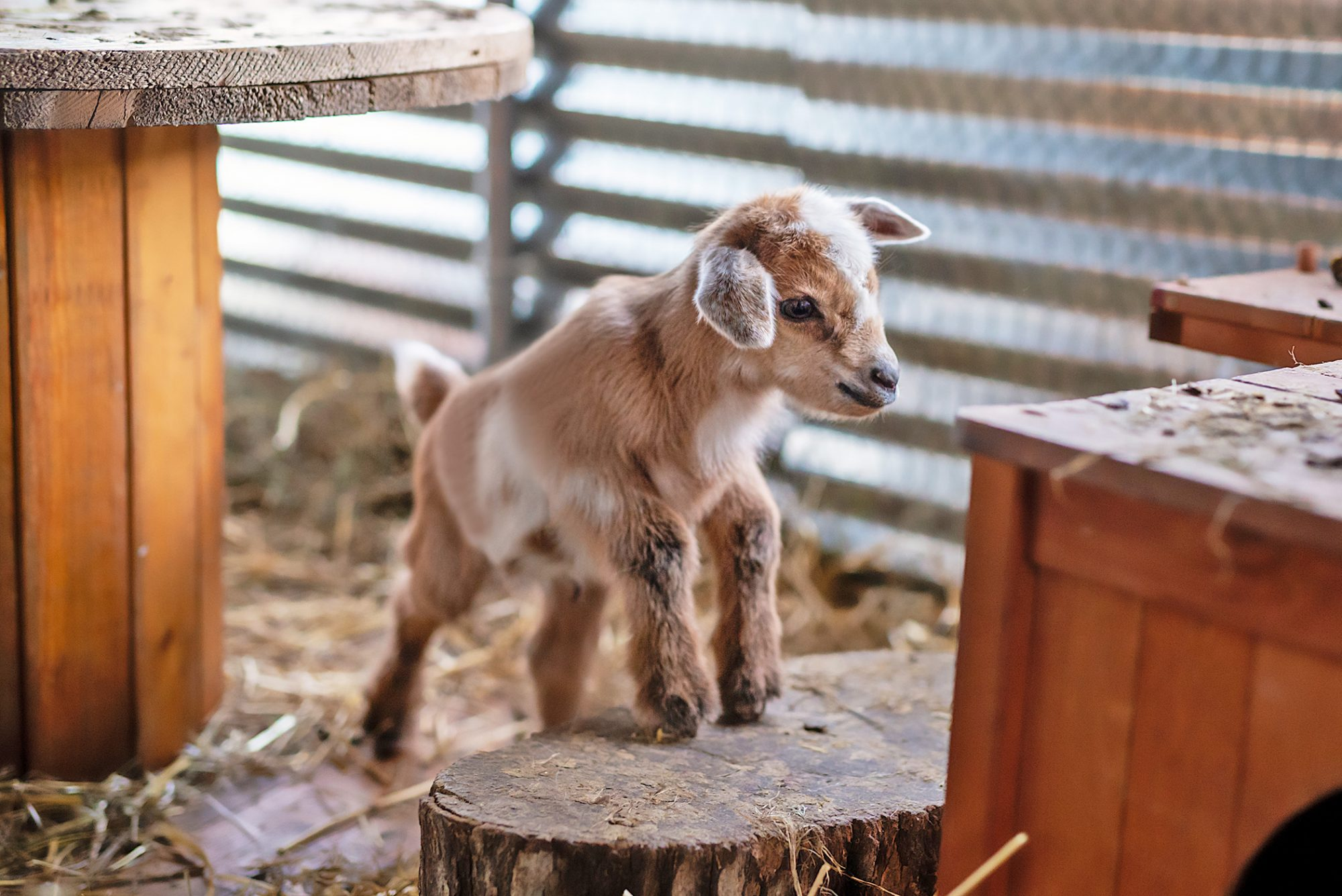 baby goat in a barn