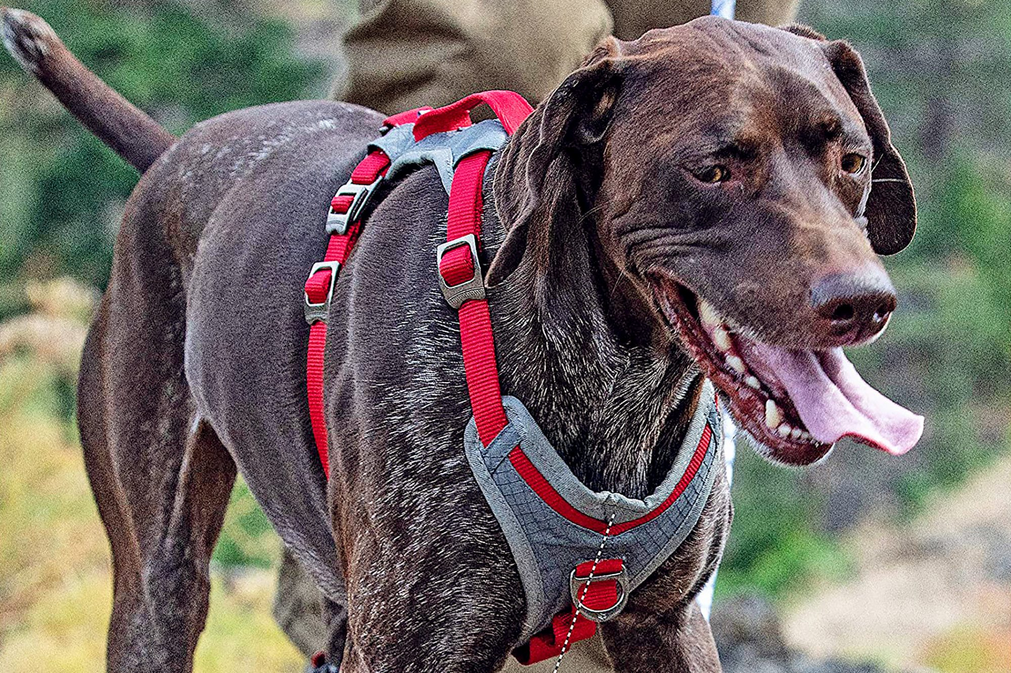 dog wearing red harness