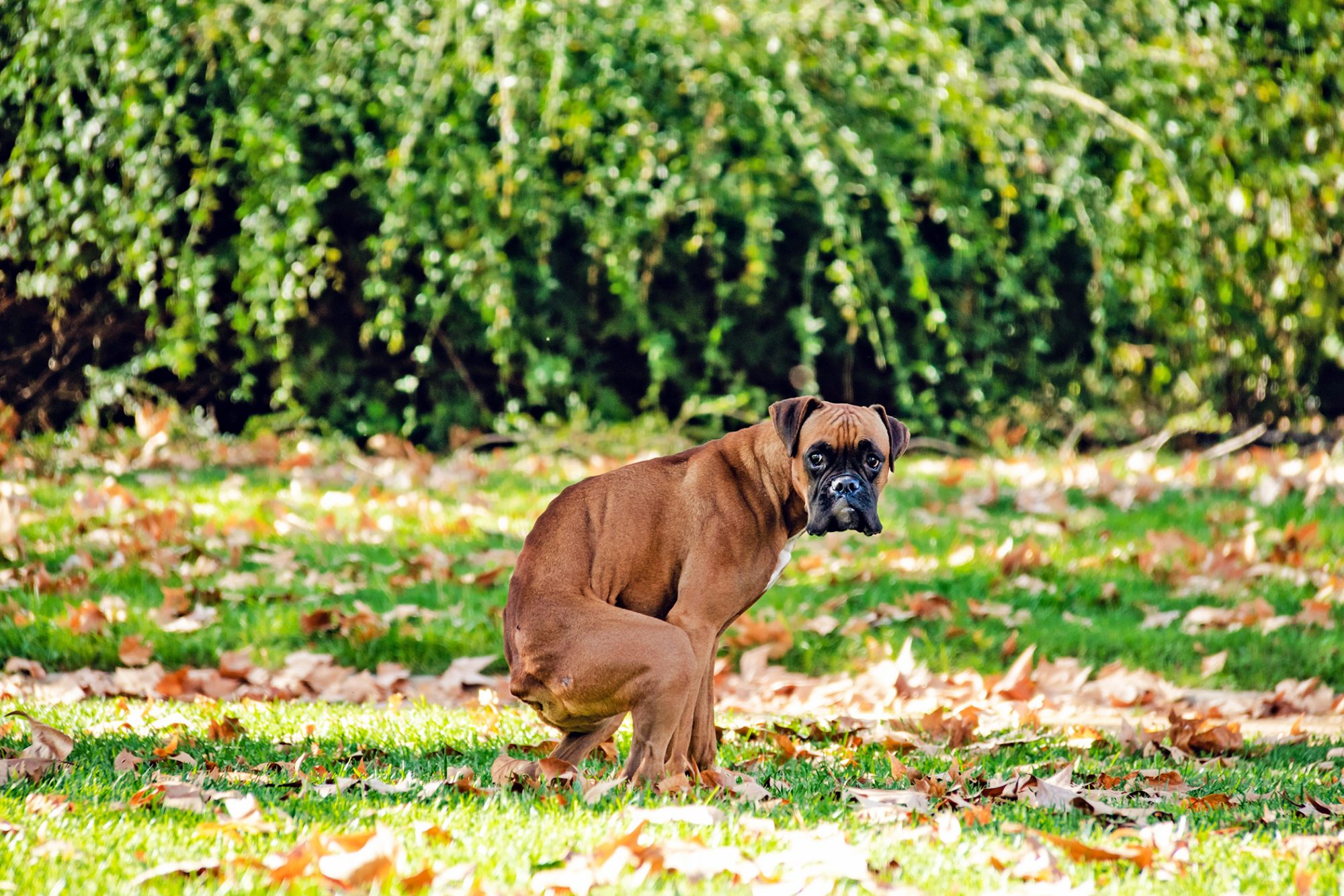adult dog pooping in the grass