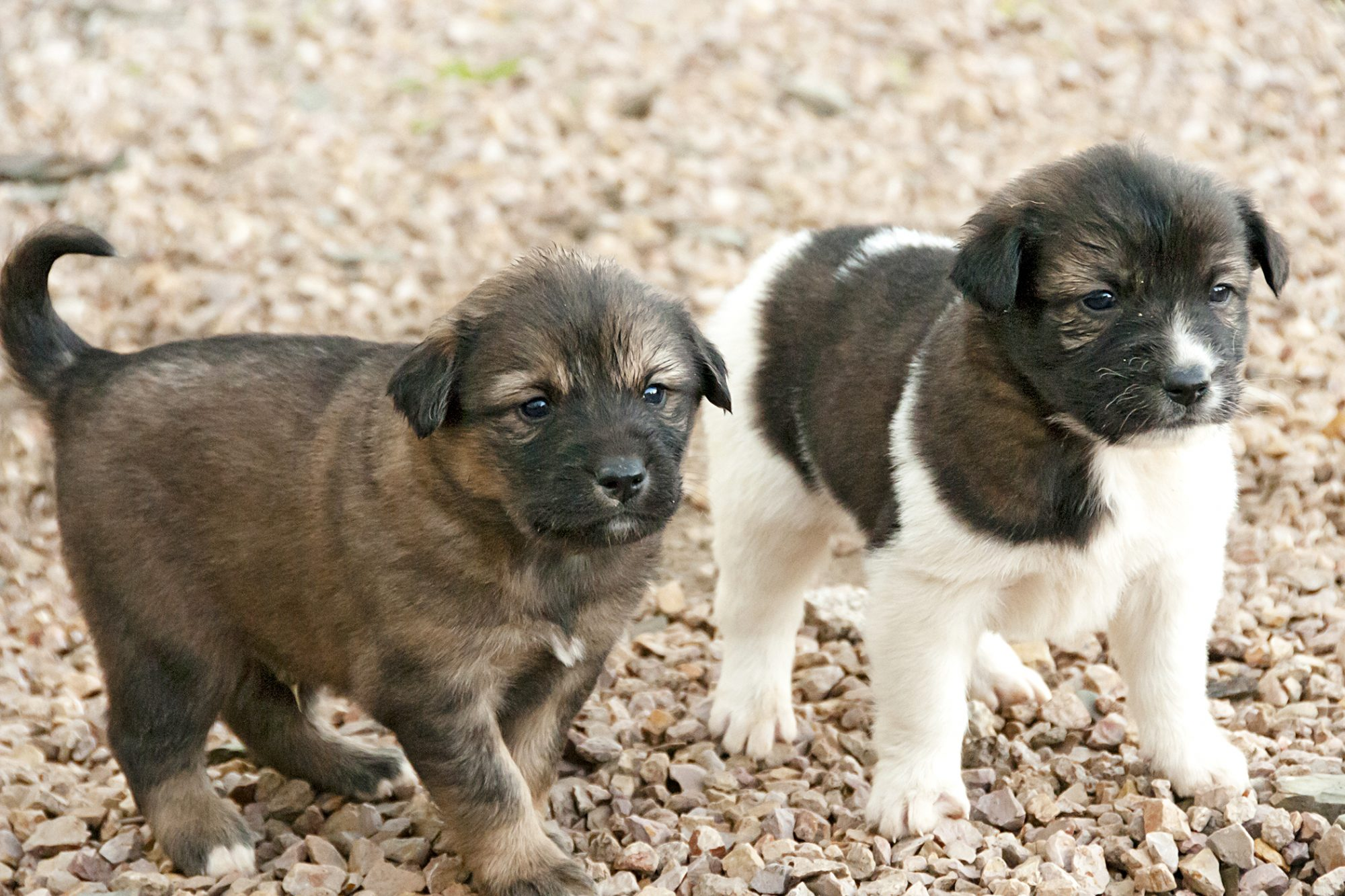 aidi two puppies