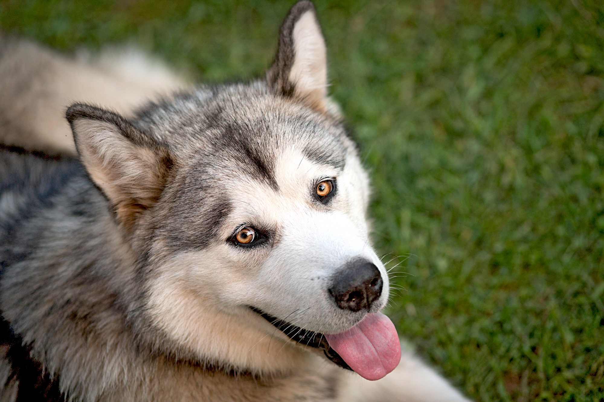 alaskan malamute laying in grass sticking tongue out