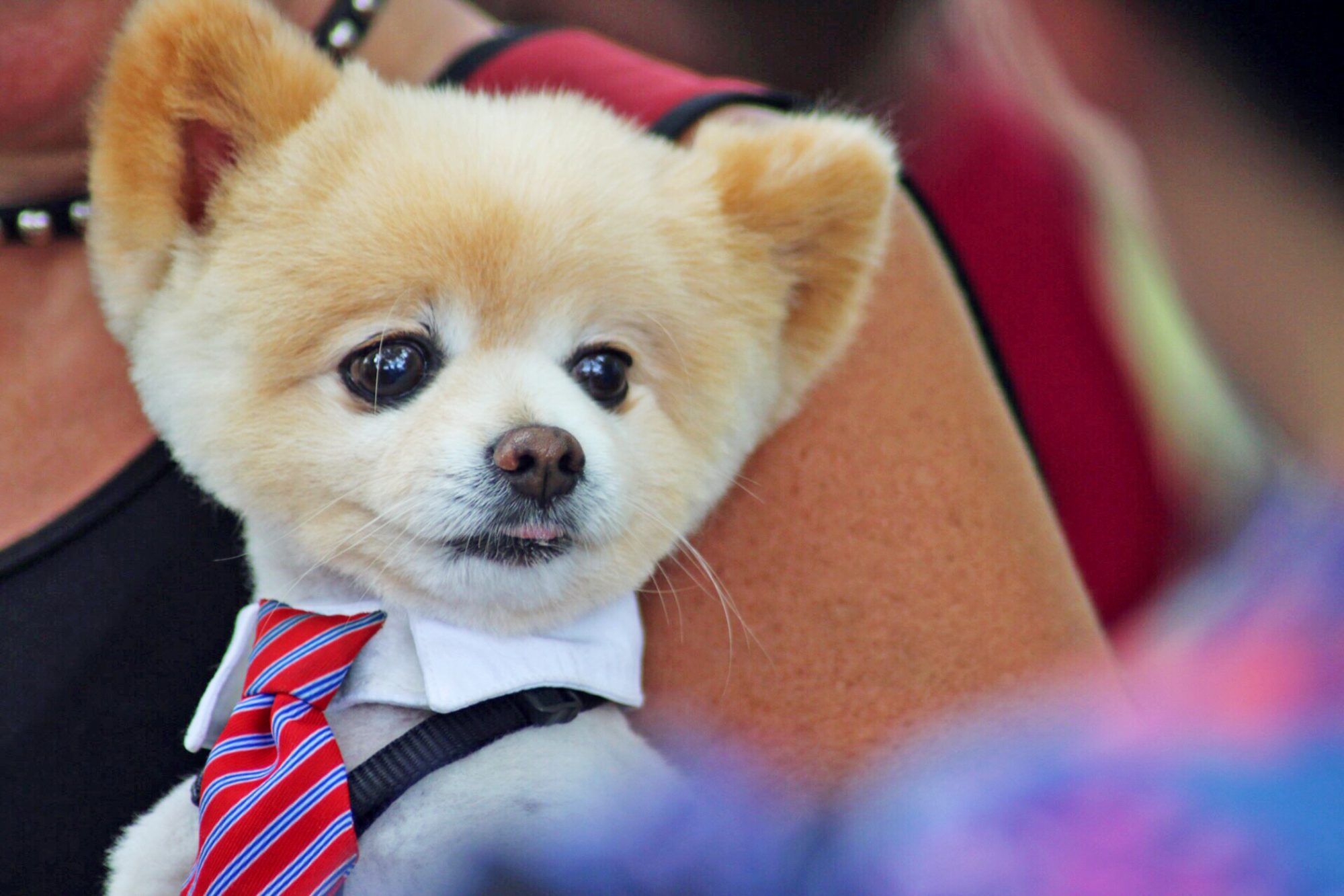 groomed Pomeranian wearing collar and tie