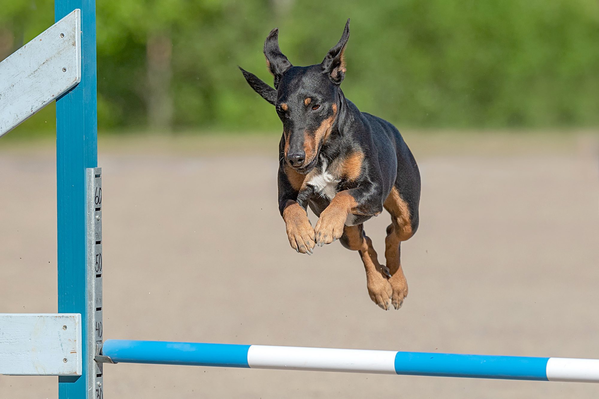 manchester terrier jumping in agility course