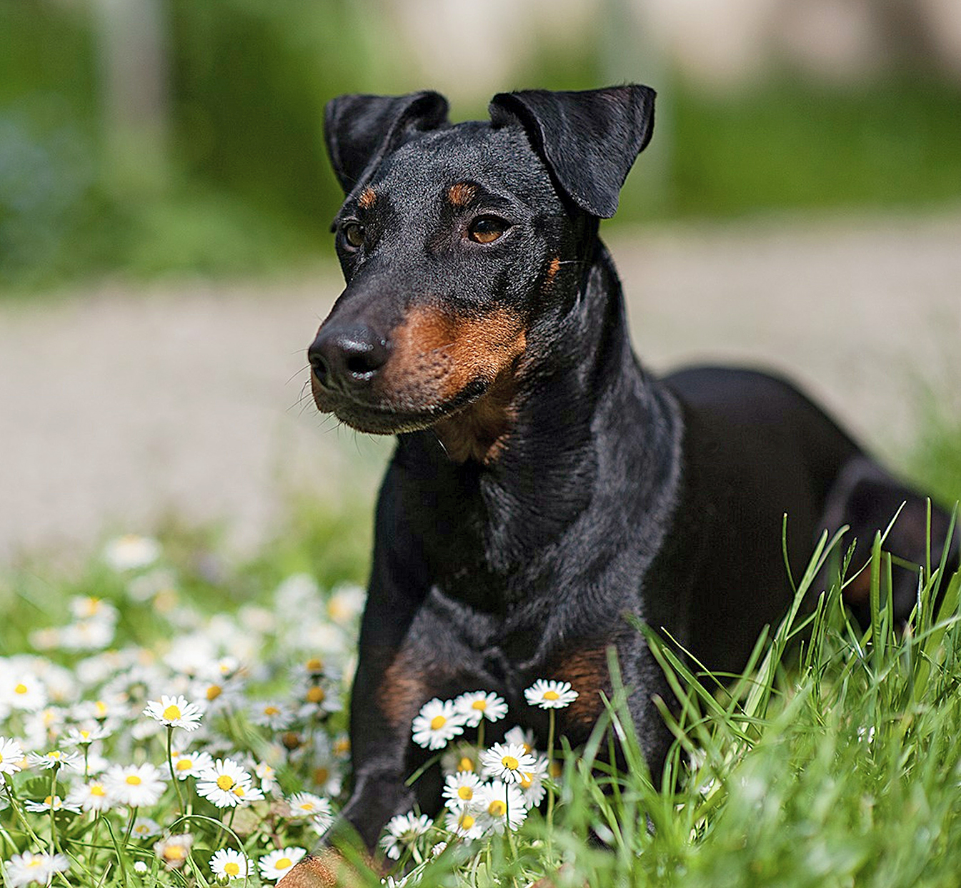 manchester terrier laying in daisies