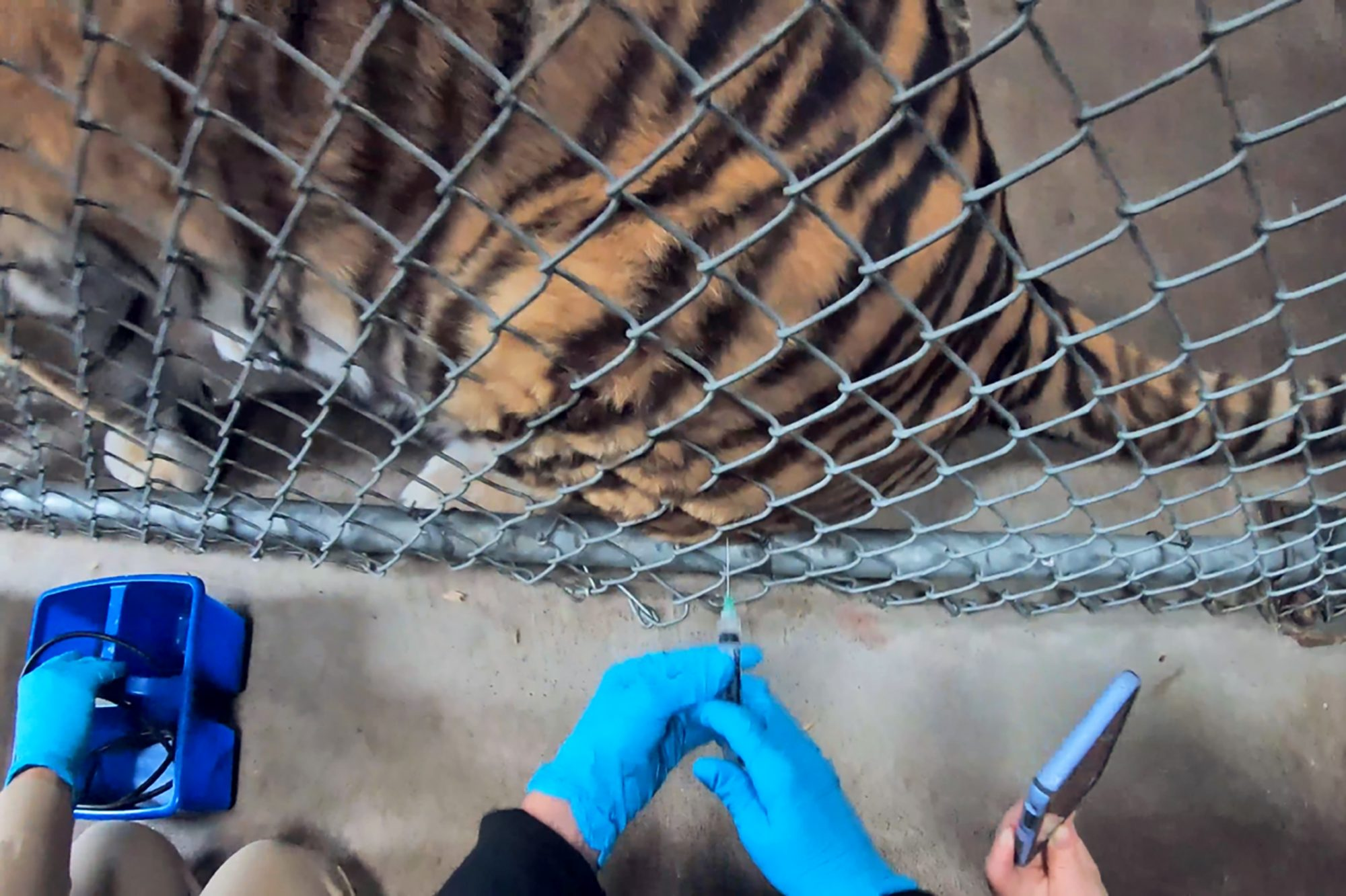 tiger getting a vaccination through chain link fence