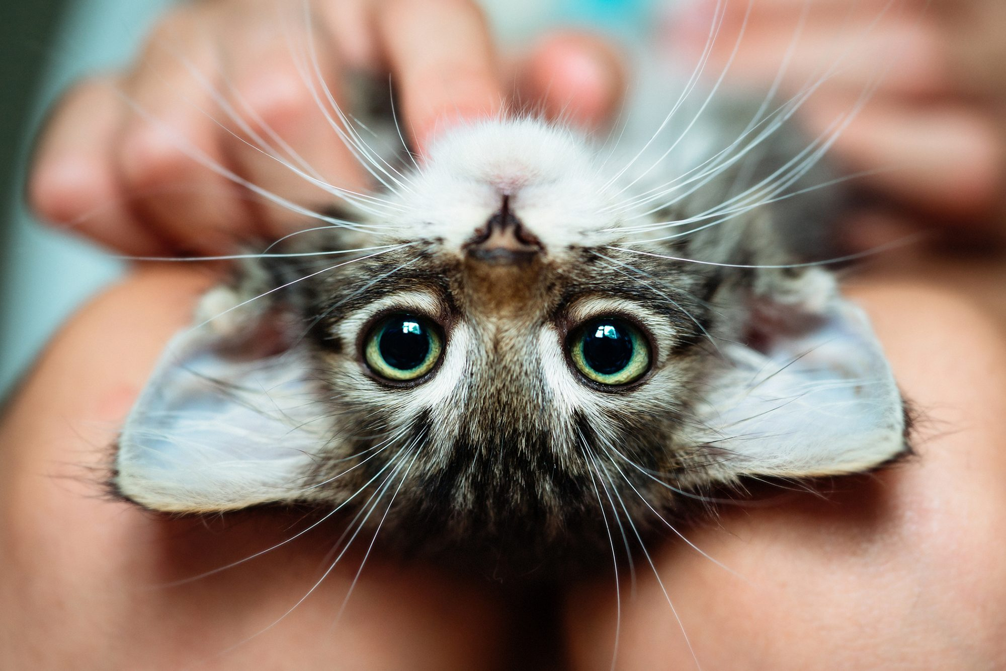 cat sitting upside down on owner's lap