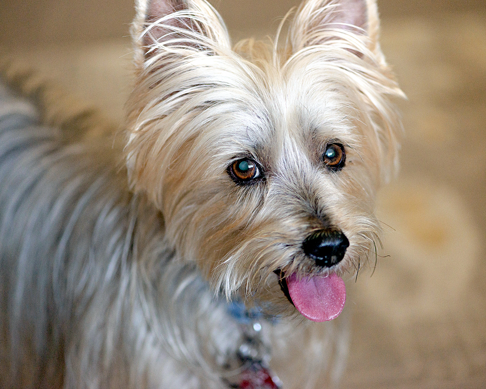 silky terrier with tongue out