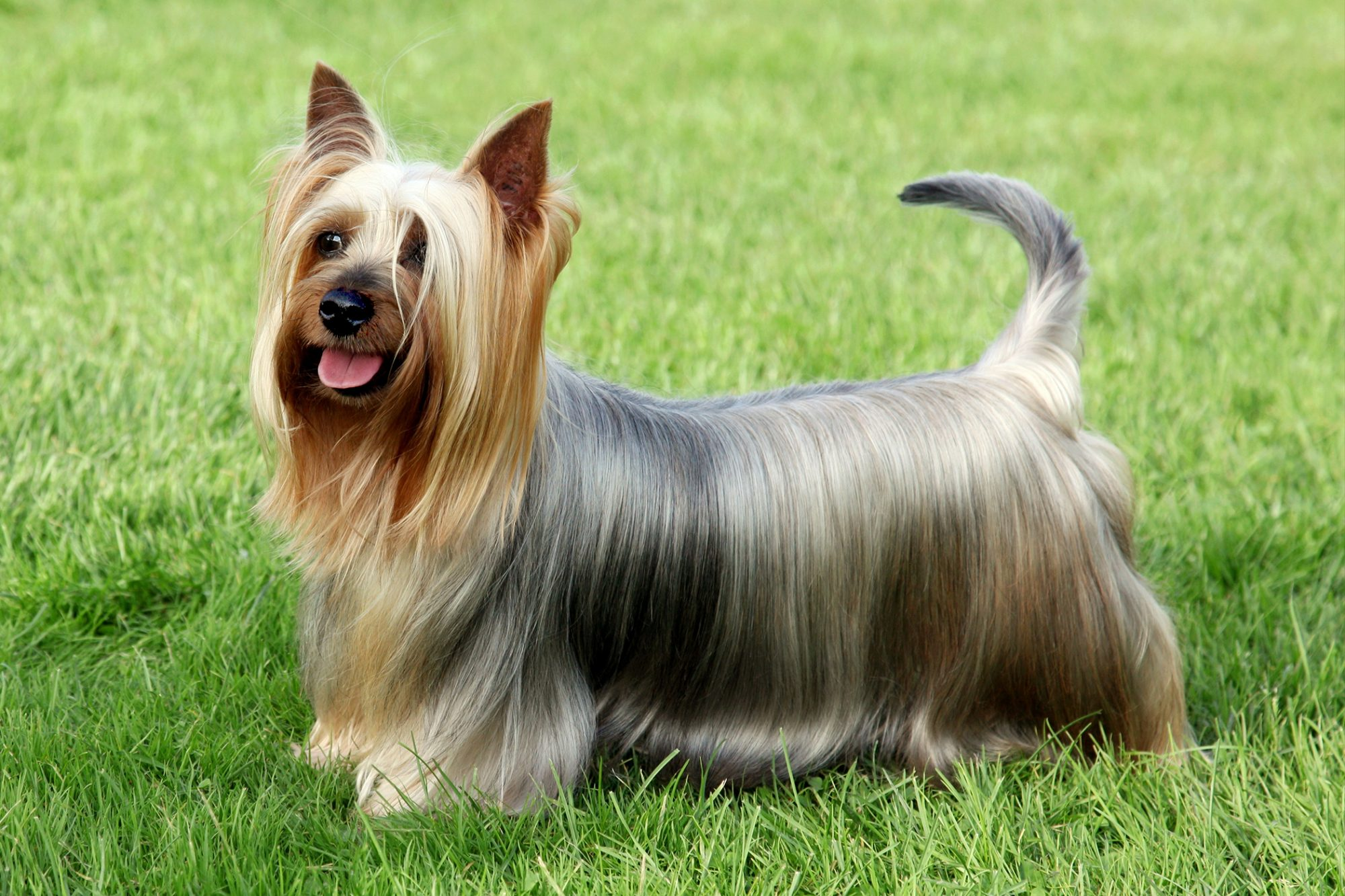 silky terrier side profile standing in grass
