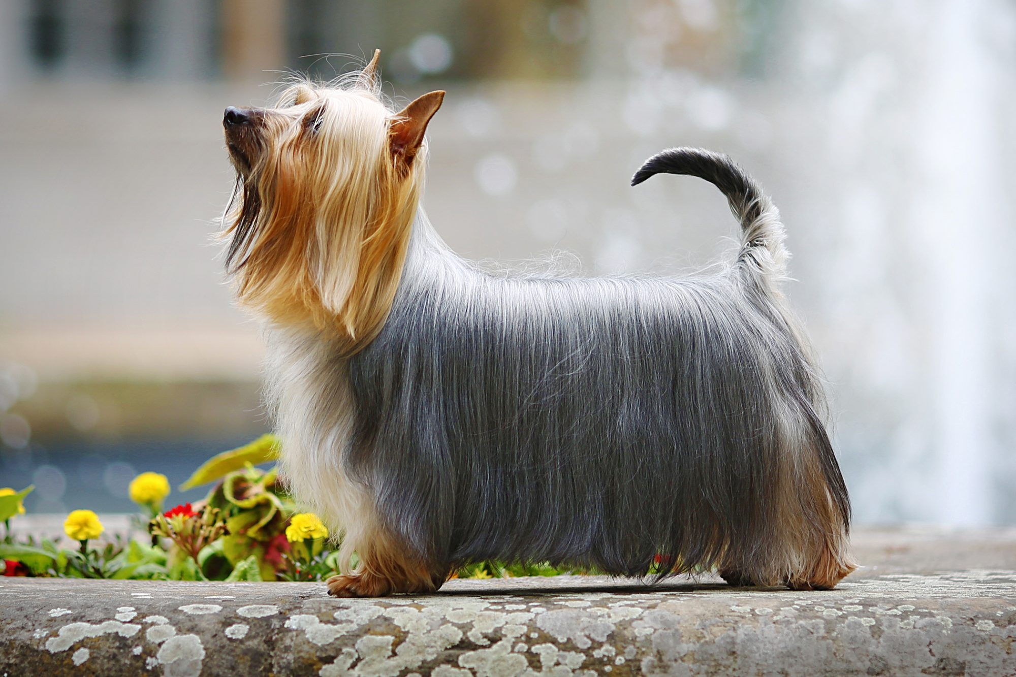 silky terrier side profile standing in front of yellow flowers
