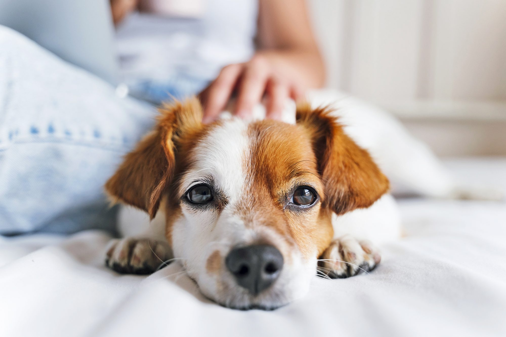 petting dog laying on bed