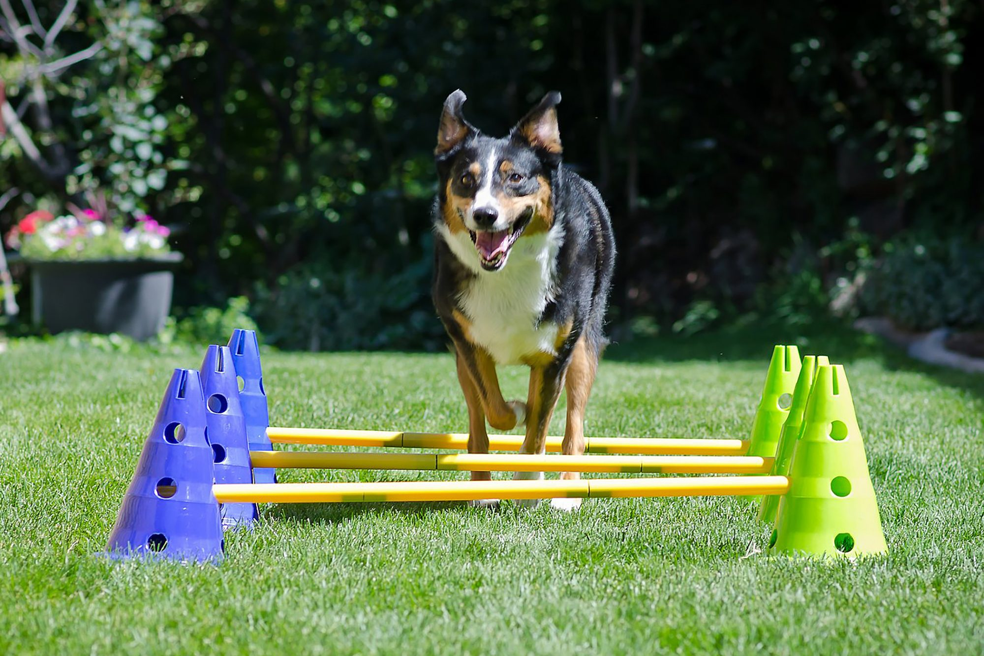 Dog jumping over agility equipment