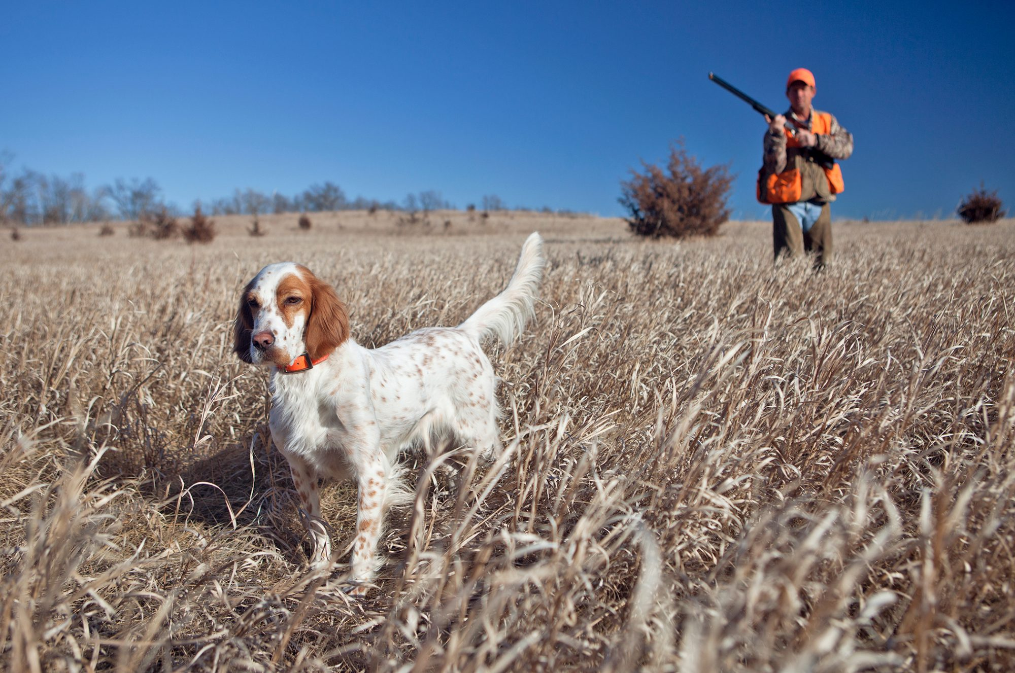 English setter standing in field with hunter