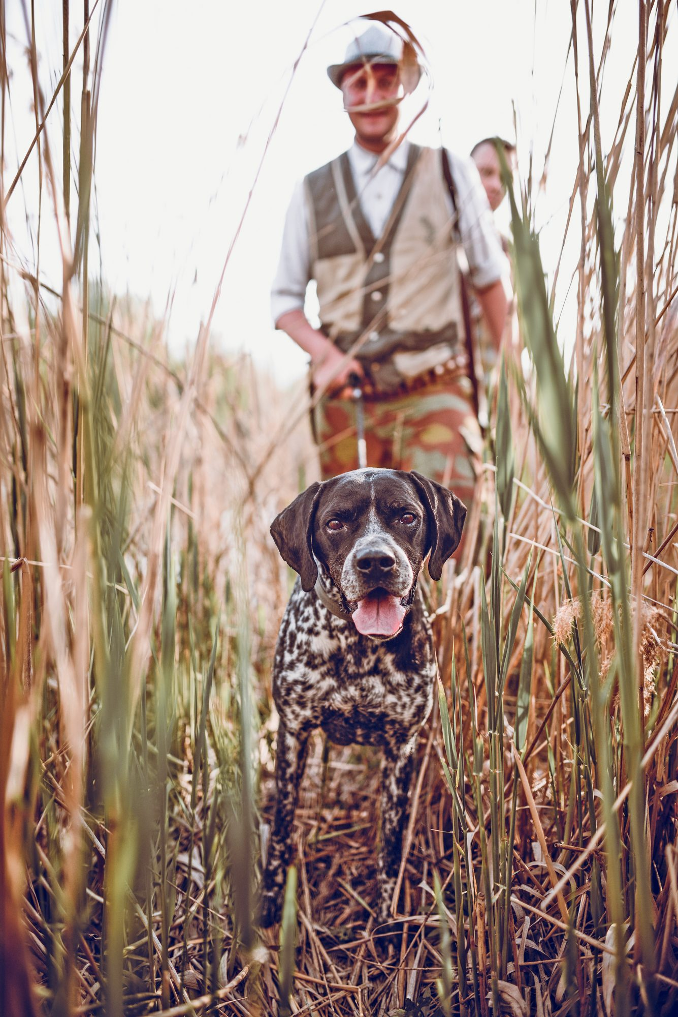 german shorthaired pointer leading hunters through grass