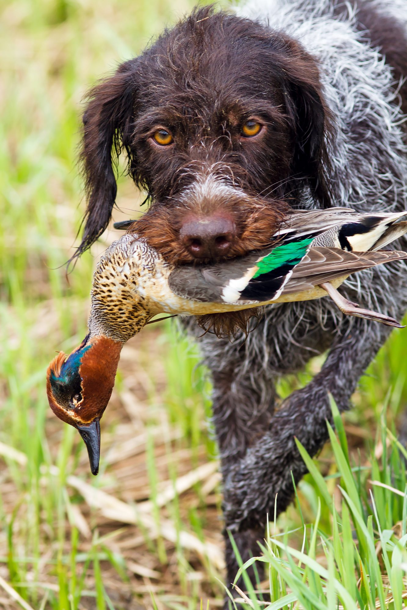 brown german shorthaired pointer holding bird in mouth