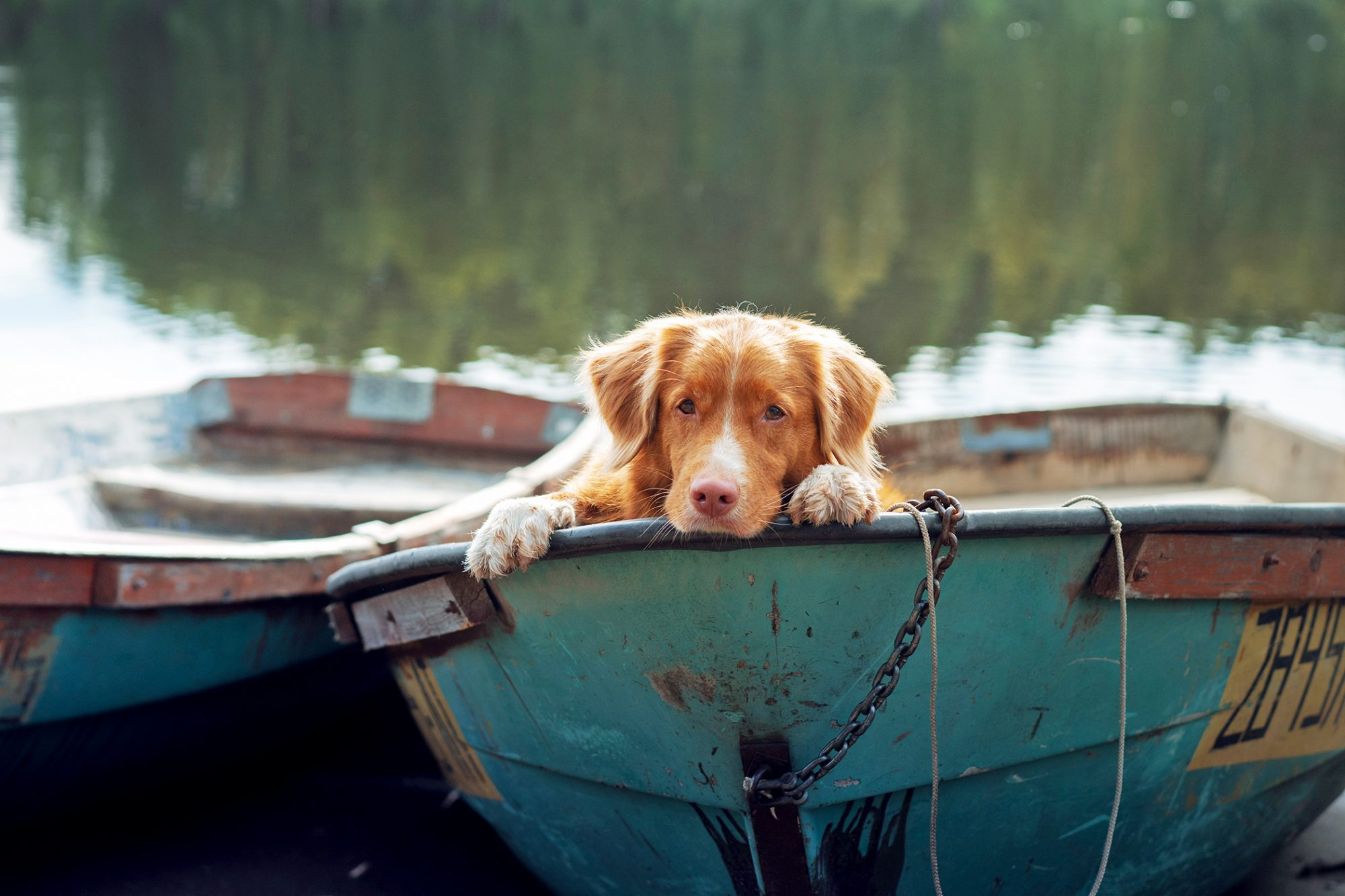 Nova Scotia duck tolling retriever sitting in boat on the water