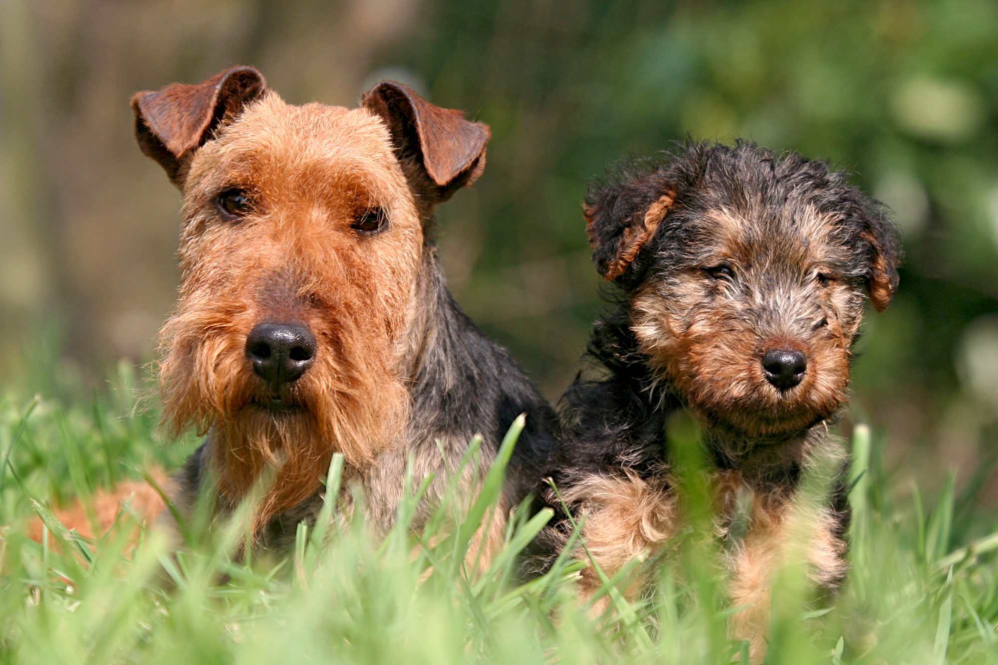 welsh terrier adult and puppy together outside