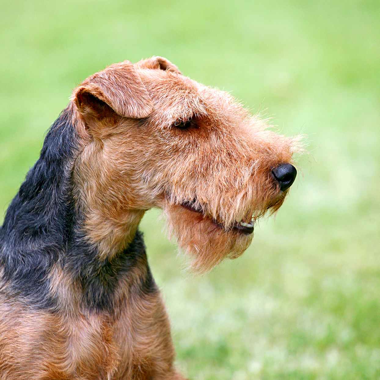 welsh terrier profile with green background