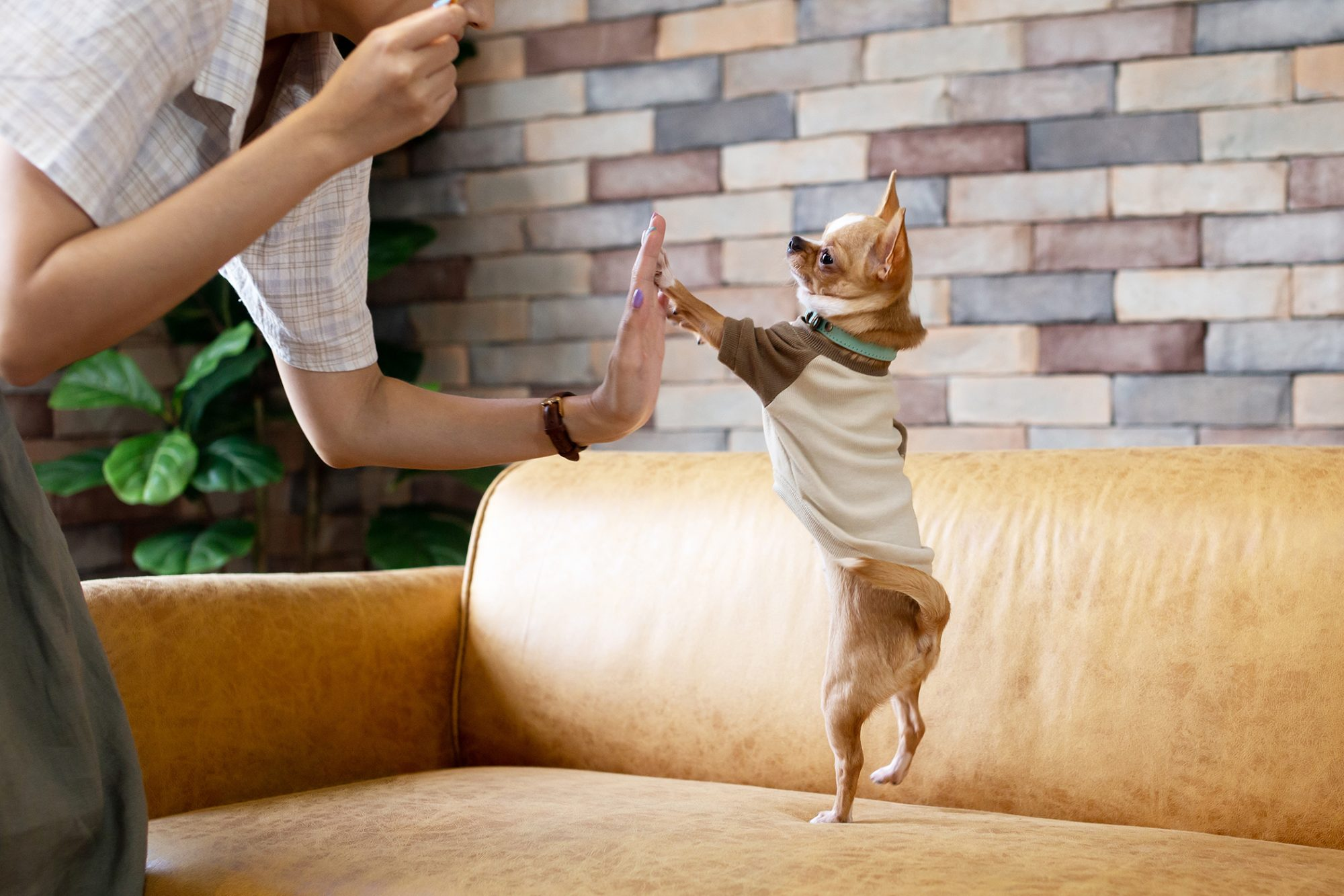 chihuahua and owner high-fiving