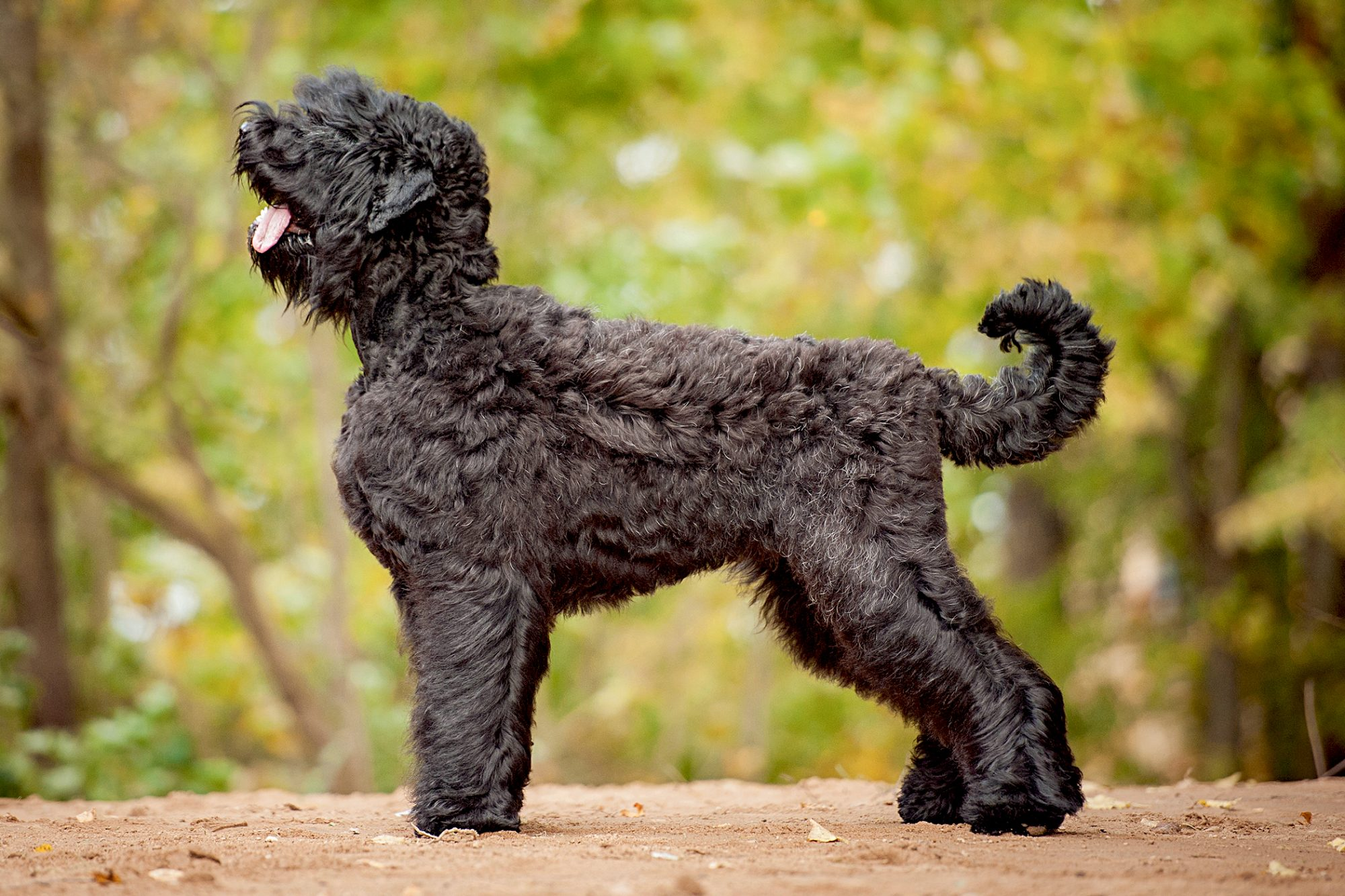 side view of black russian terrier standing outside