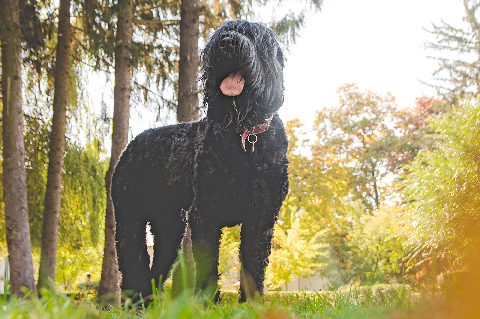 black russian terrier standing in forest