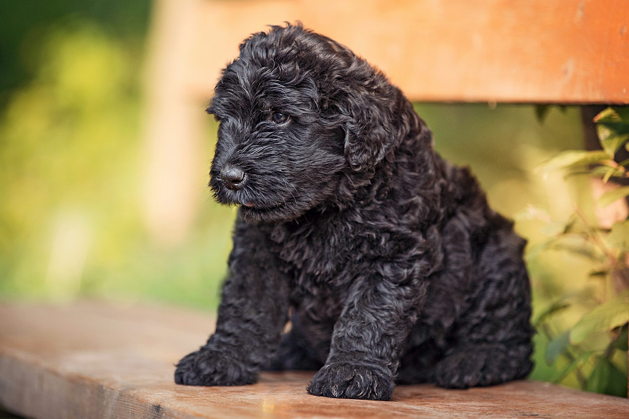 black russian terrier puppy sitting on bench