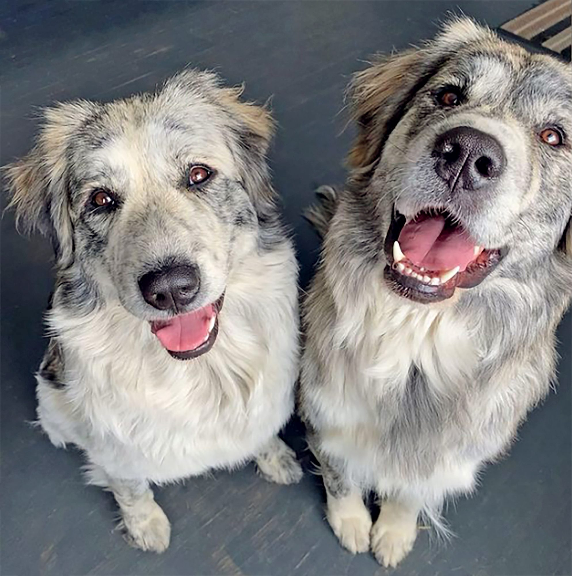 the pyrenees sisters two dogs with aussie markings and great pyrenees bodies