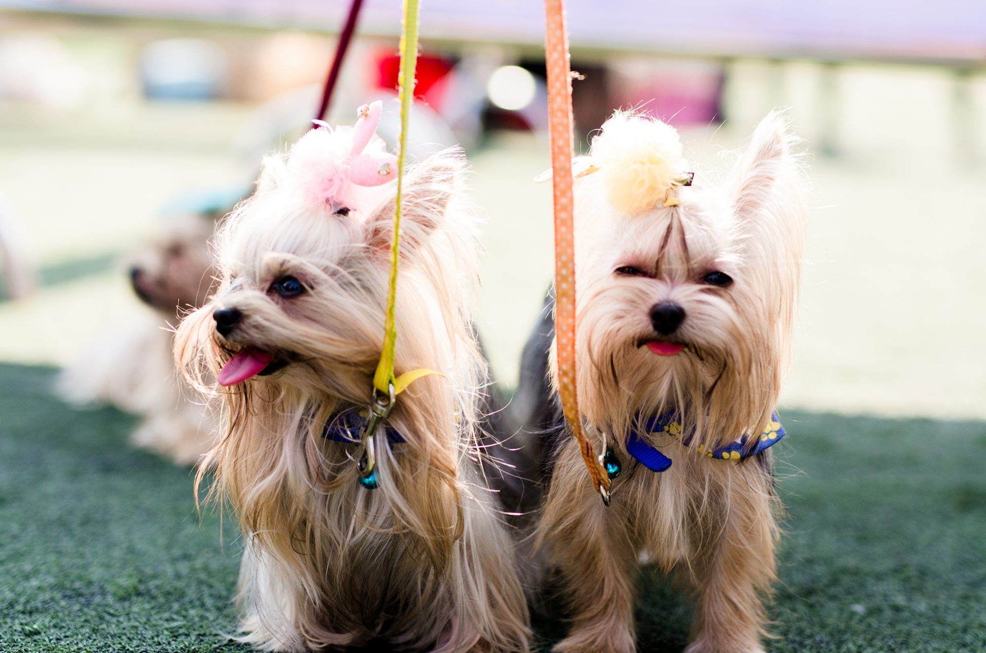 two silky terriers with bows