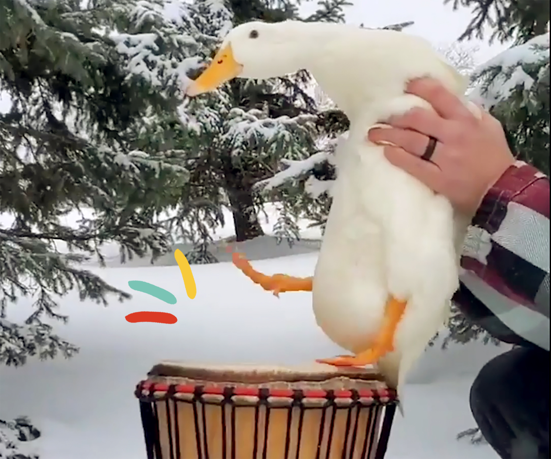 duck drumming on drum with his feet