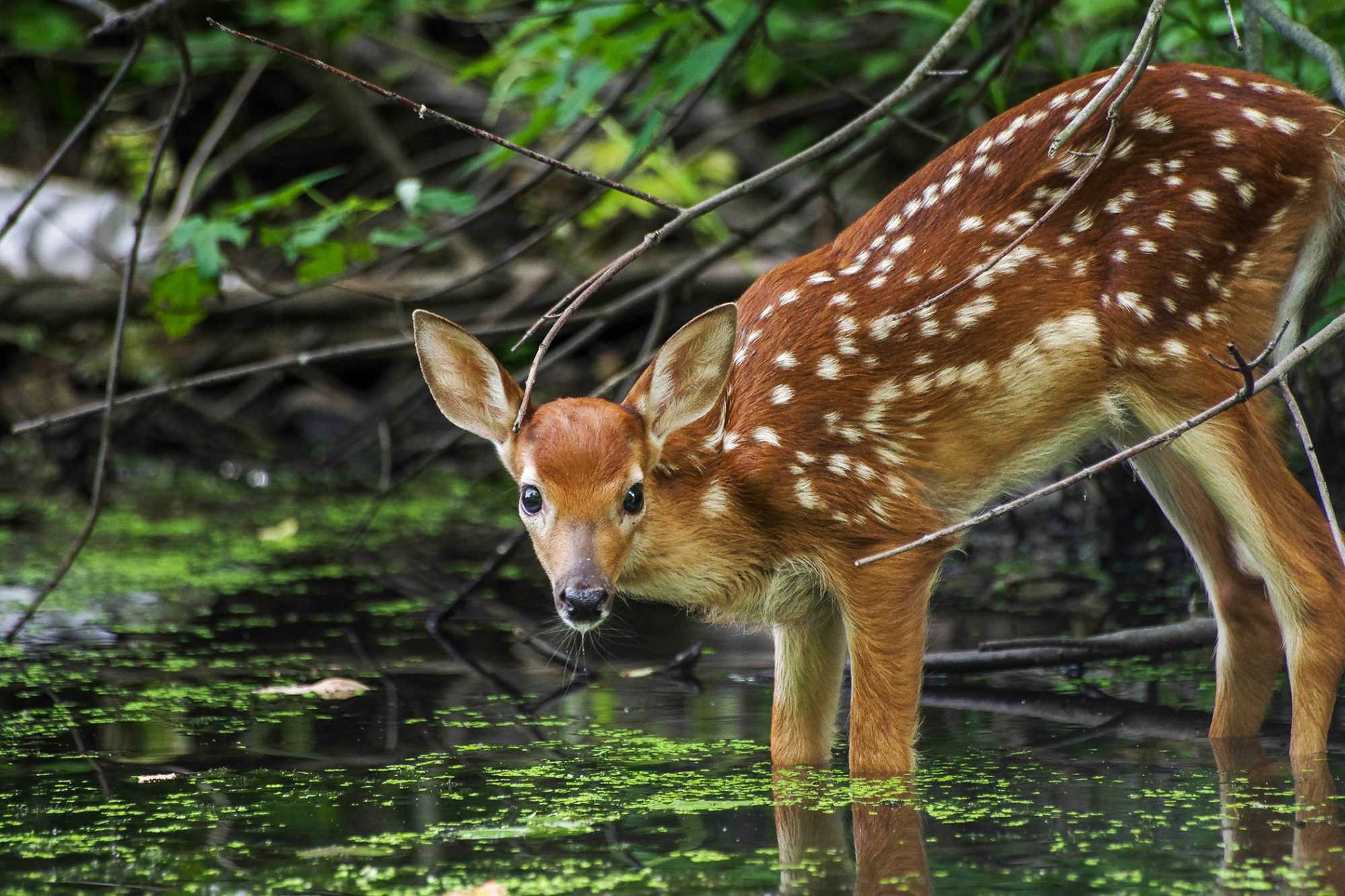 man saves fawn shown here standing in water