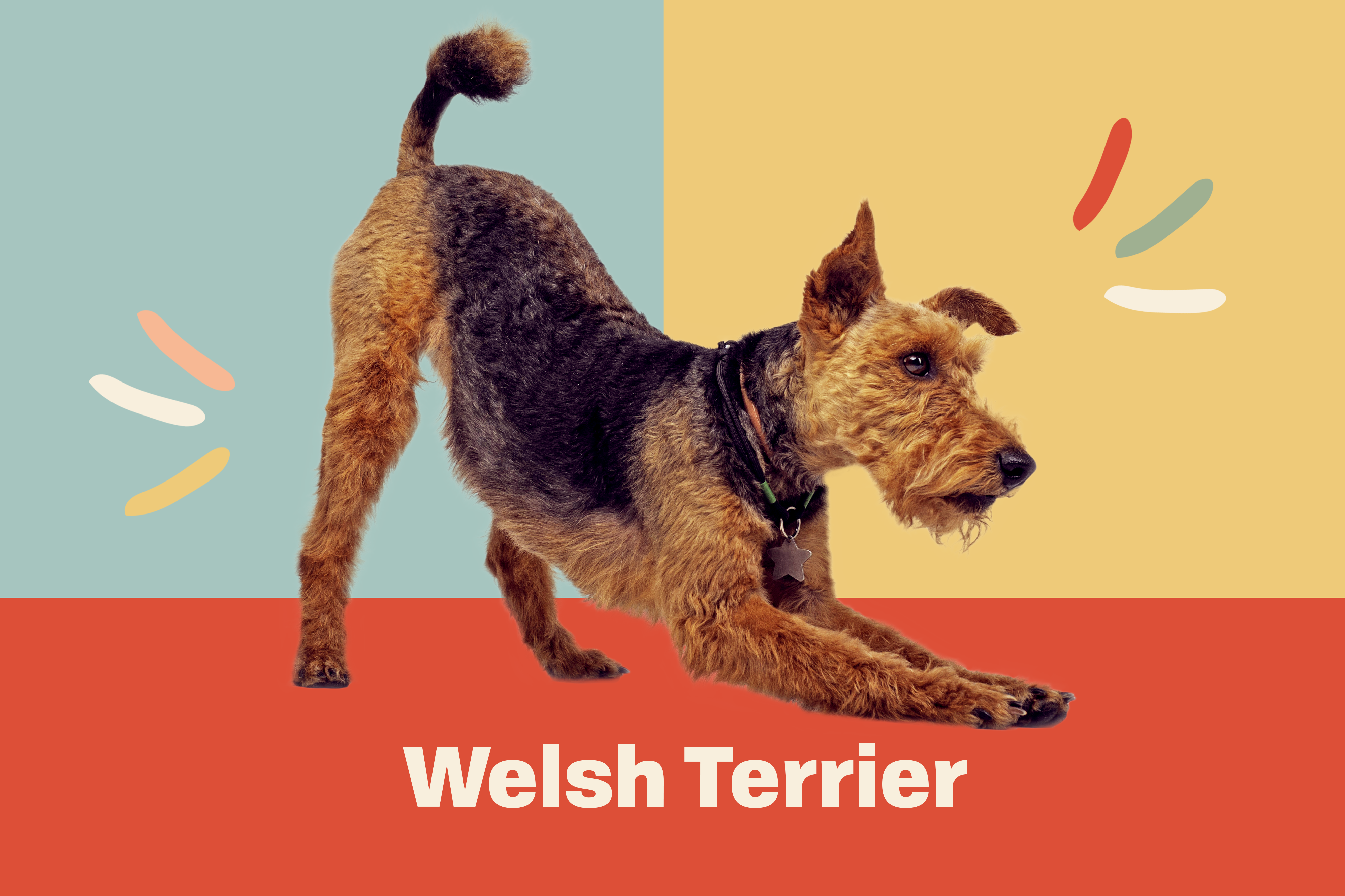 image of Welsh Terrier against breed profile treatment