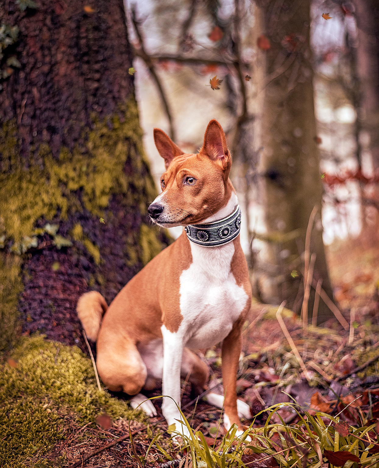 basenji wearing a decorative collar sitting on a mossy tree in a forest