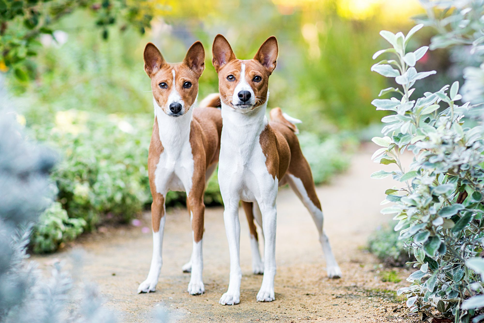two basenji dogs standing together on a trail between green bushes