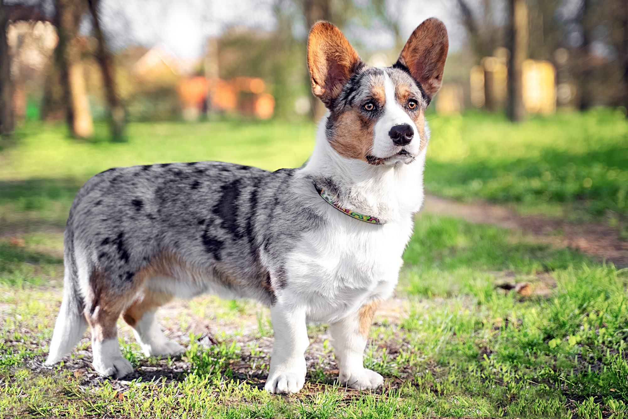 cardigan welsh corgi with grey and tan merle coat standing in a park