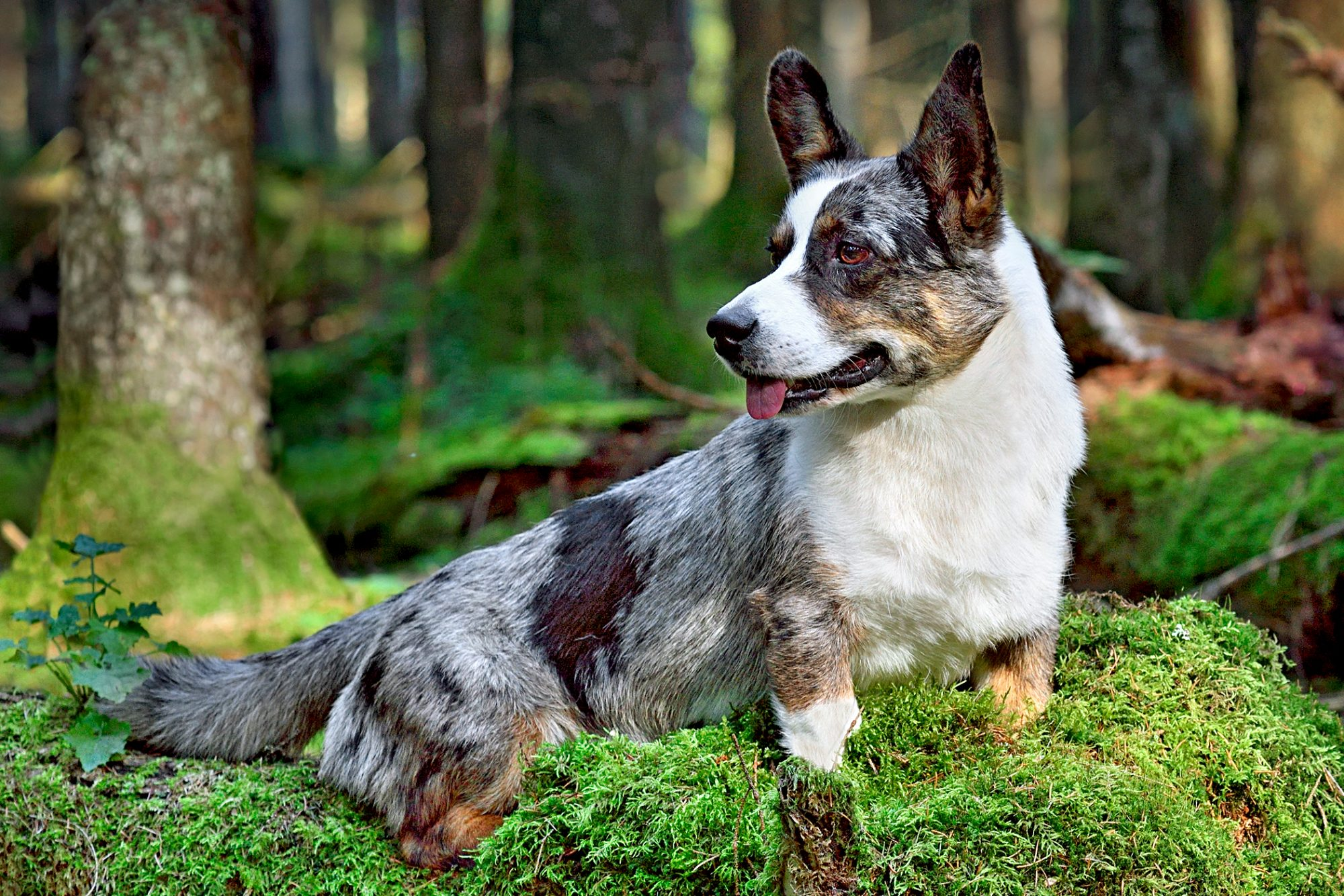 cardigan welsh corgi sitting on moss in a forest