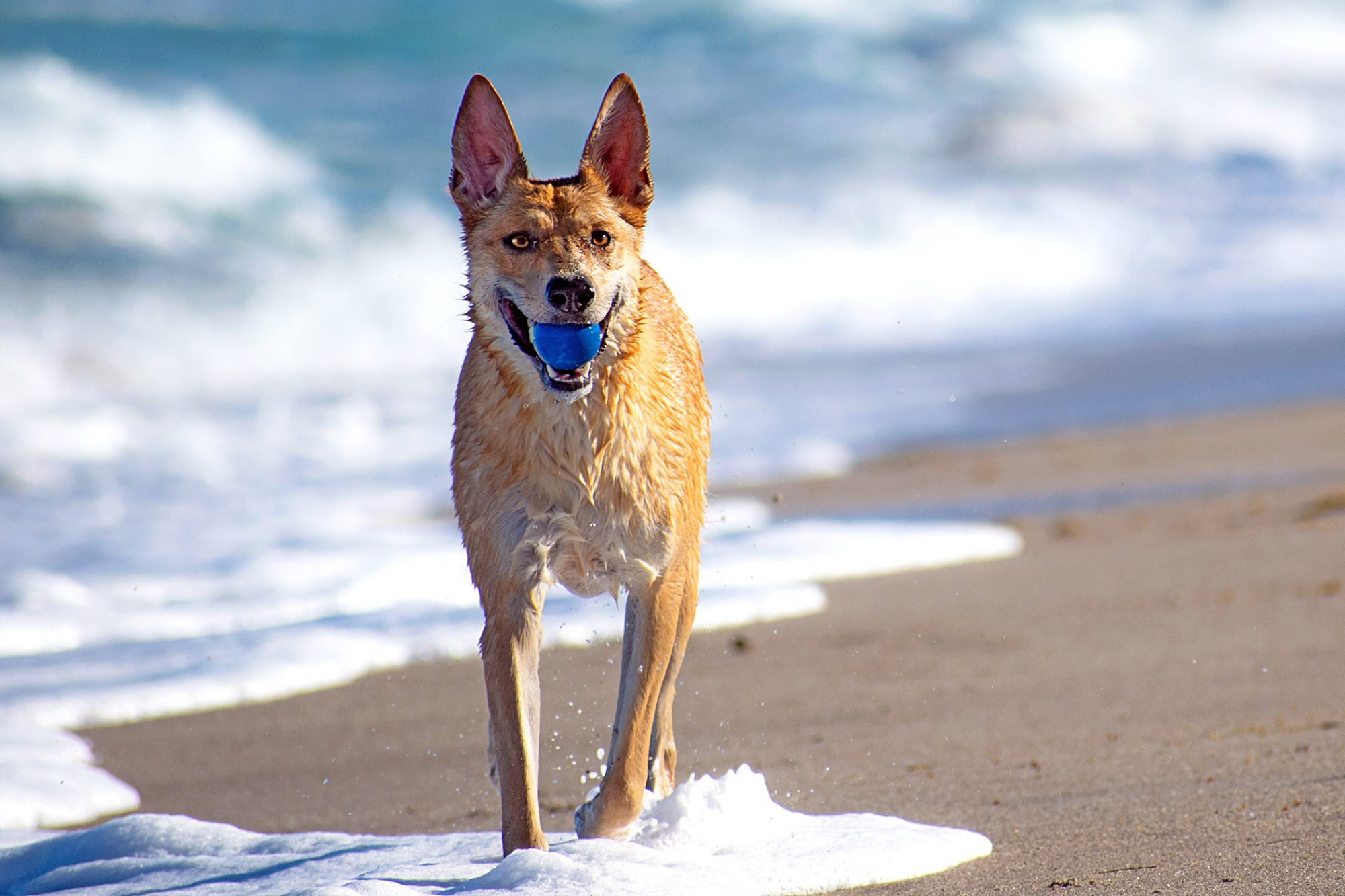 carolina dog walking on beach carrying a blue ball in its mouth