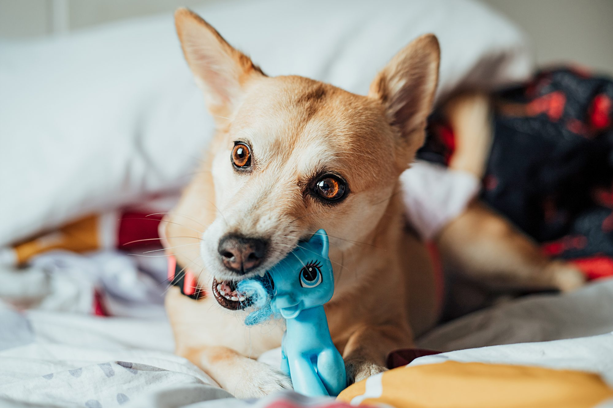 carolina dog lying in bed chewing blue toy