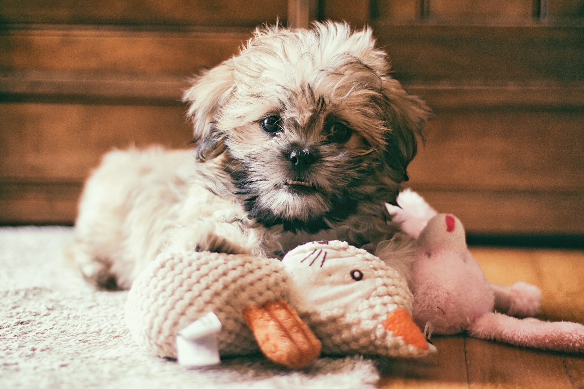 malshi puppy lying floor with stuffed toys