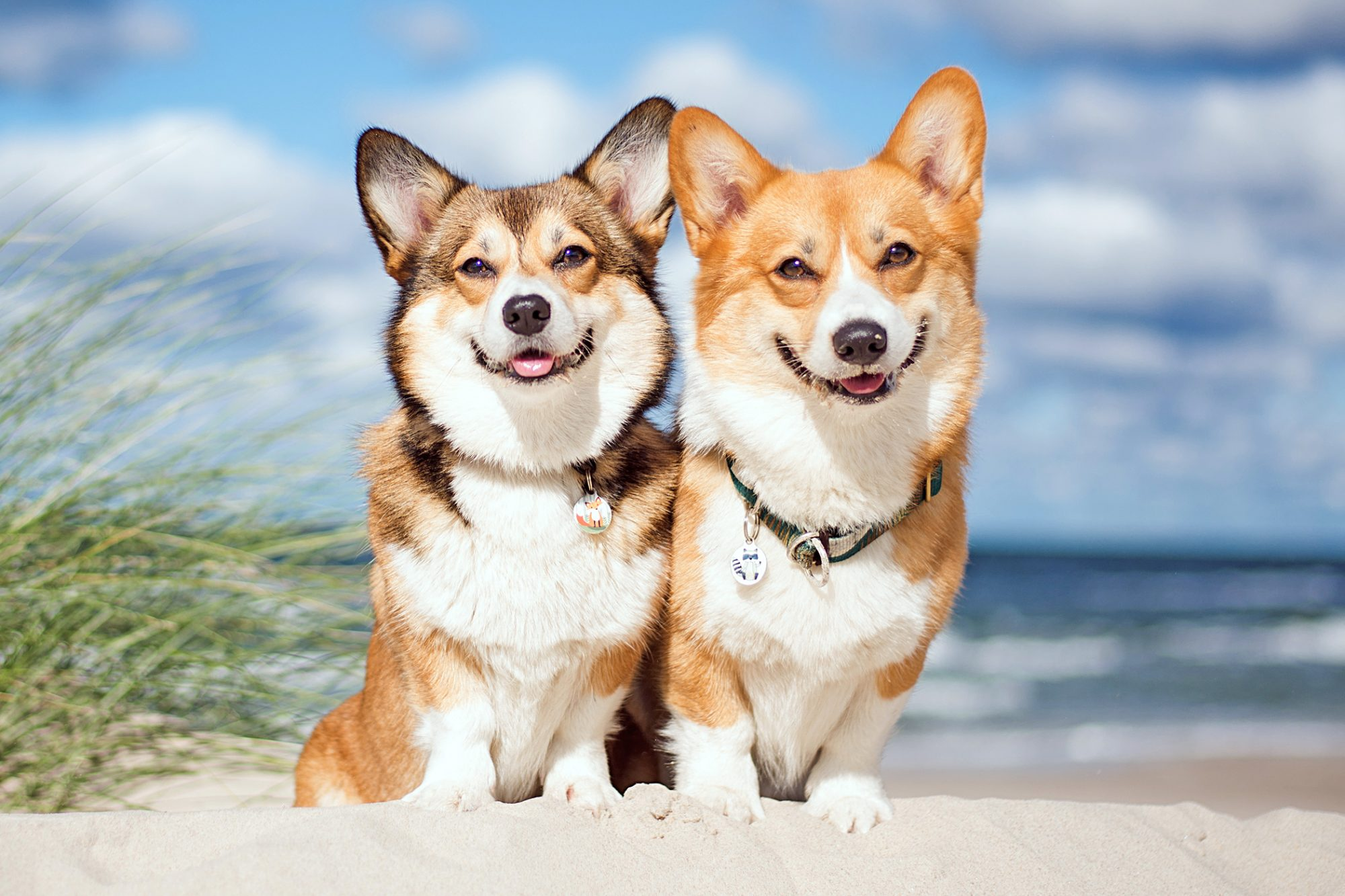two pembroke welsh corgis sitting together on a beach