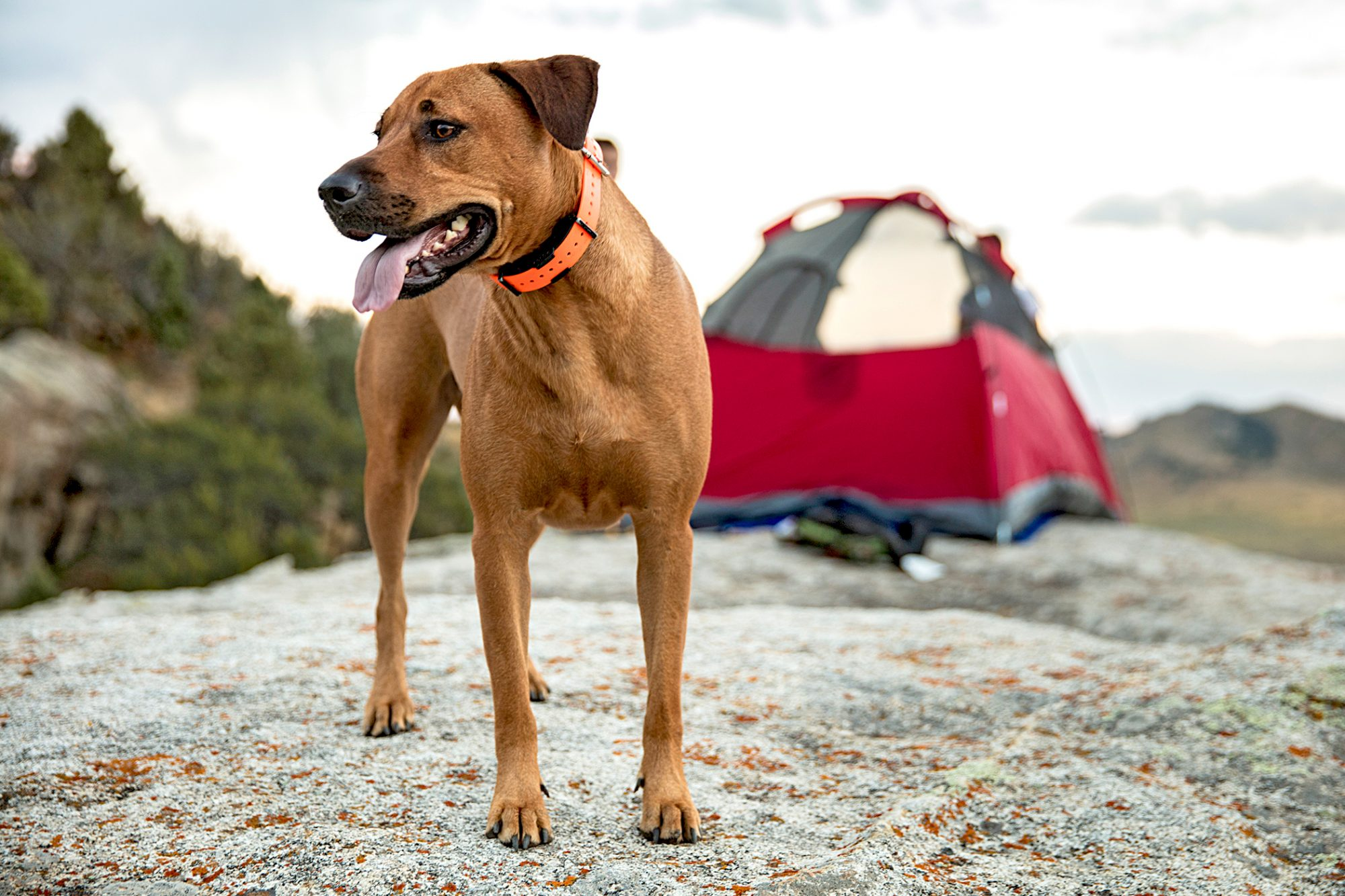 rhodesian ridgeback wearing an orange collar standing on a hill in front of a red tent
