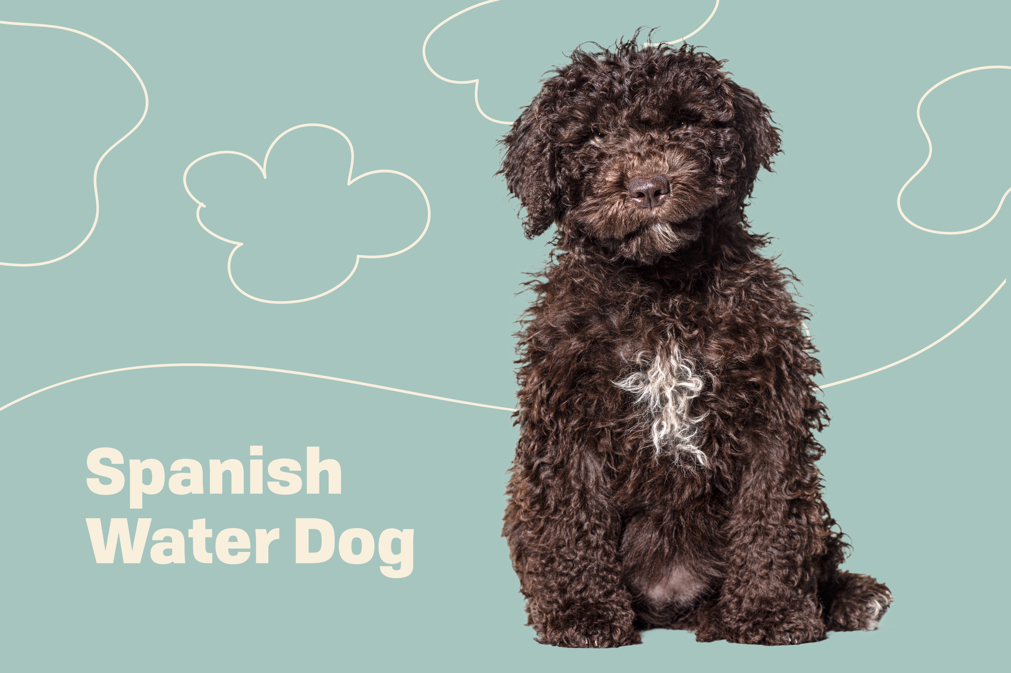 spanish water dog profile treatment blue background with drawings of clouds