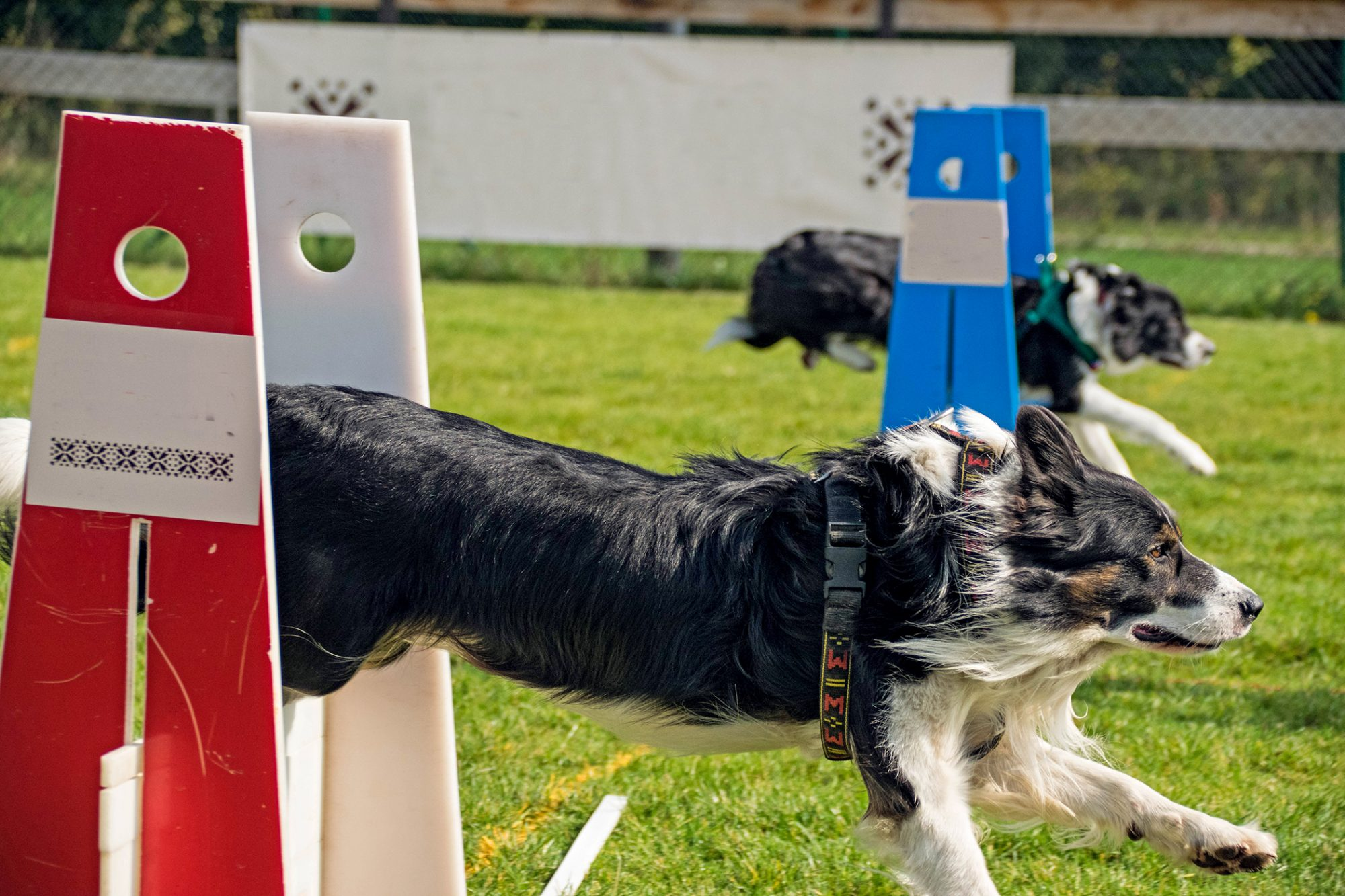 two dogs racing jumping over hurdles in flyball