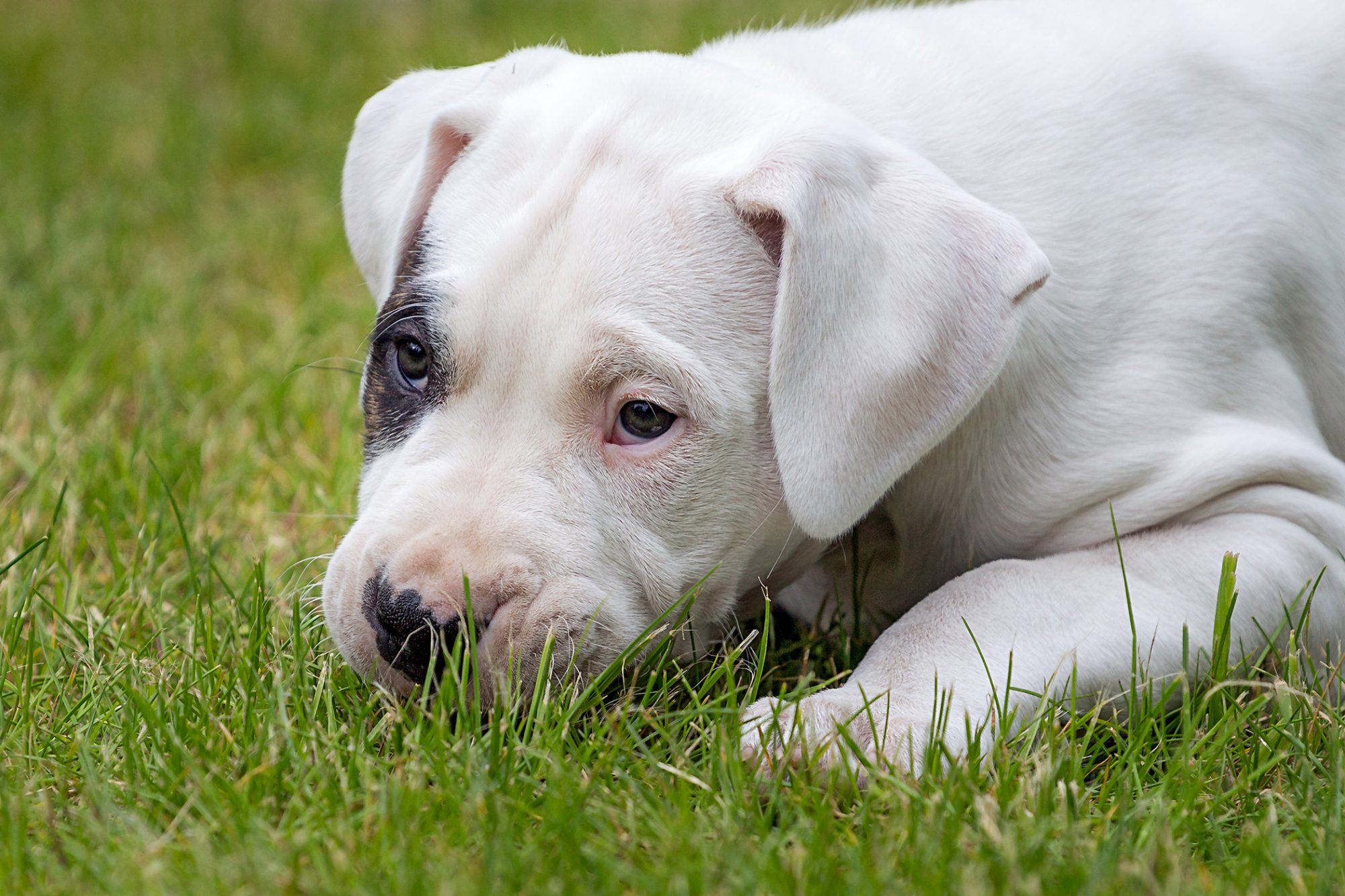 dogo argentino puppy lying in the grass